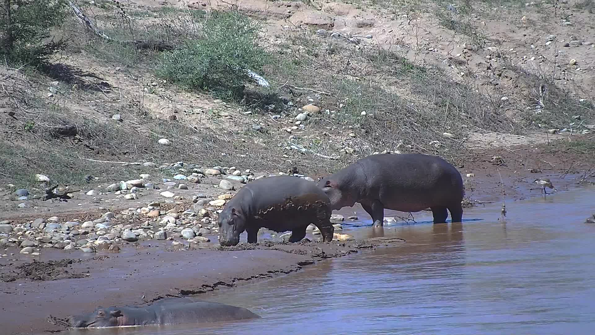 VIDEO:  Hippopotamus coming out of the water