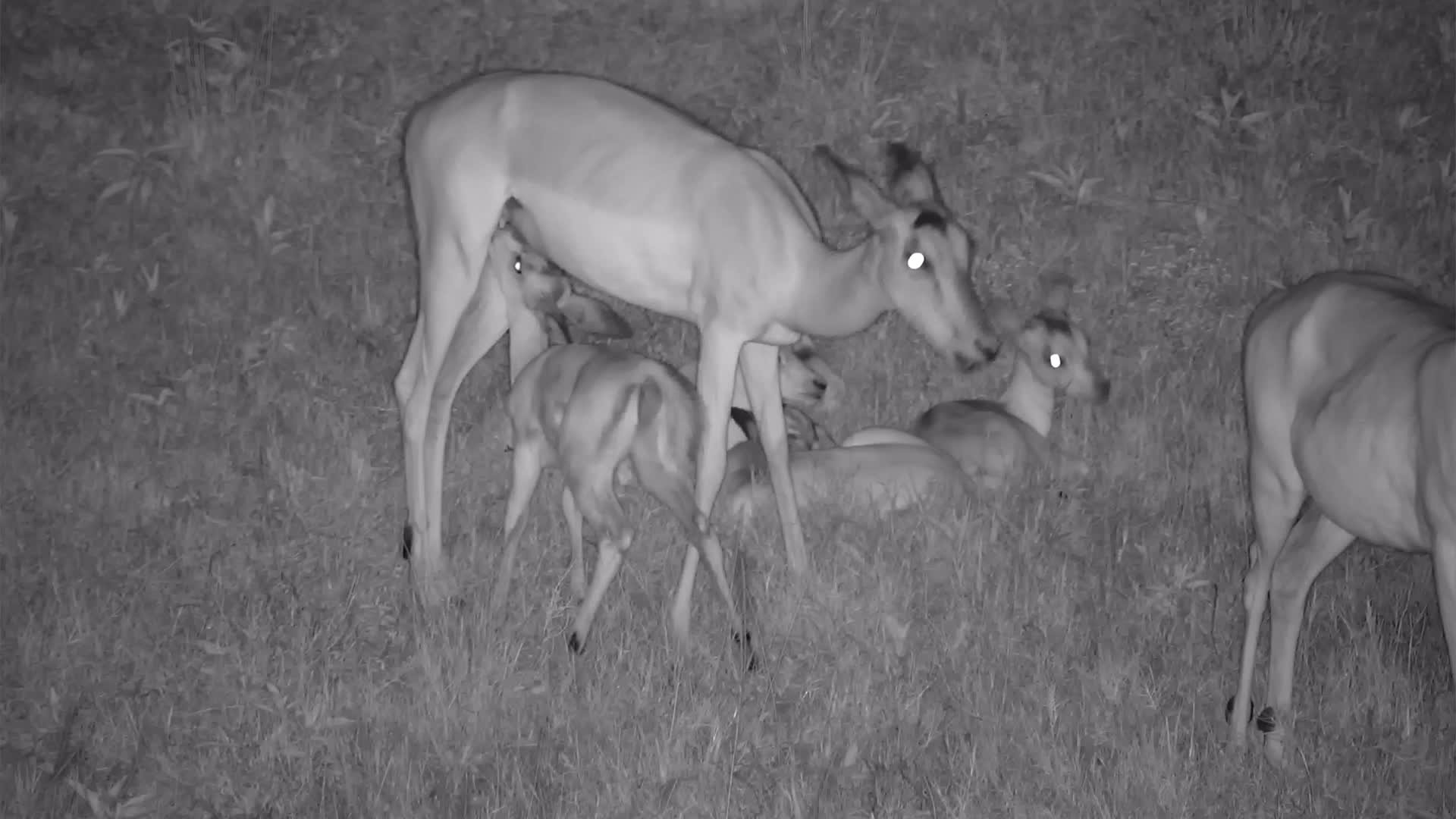 VIDEO:  Baby Impala feeding