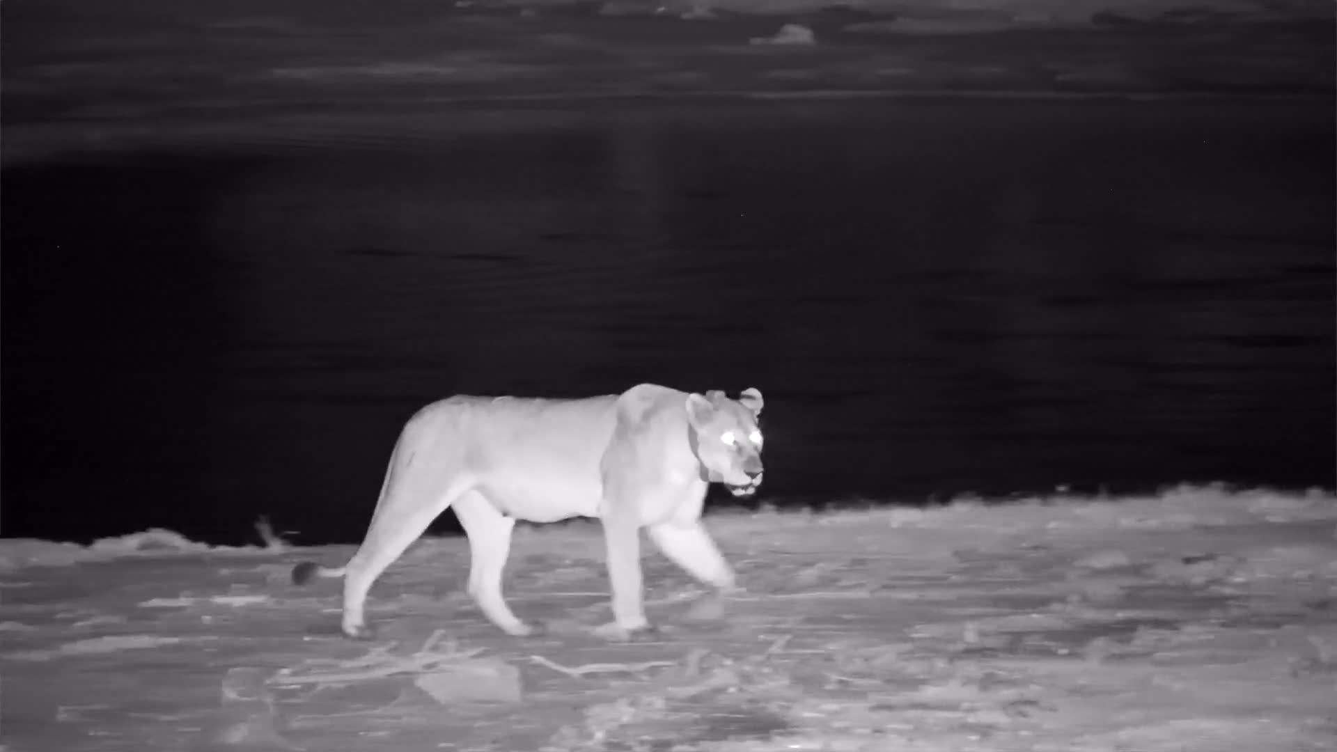 VIDEO: Lion leaving the waterhole roaring along the way