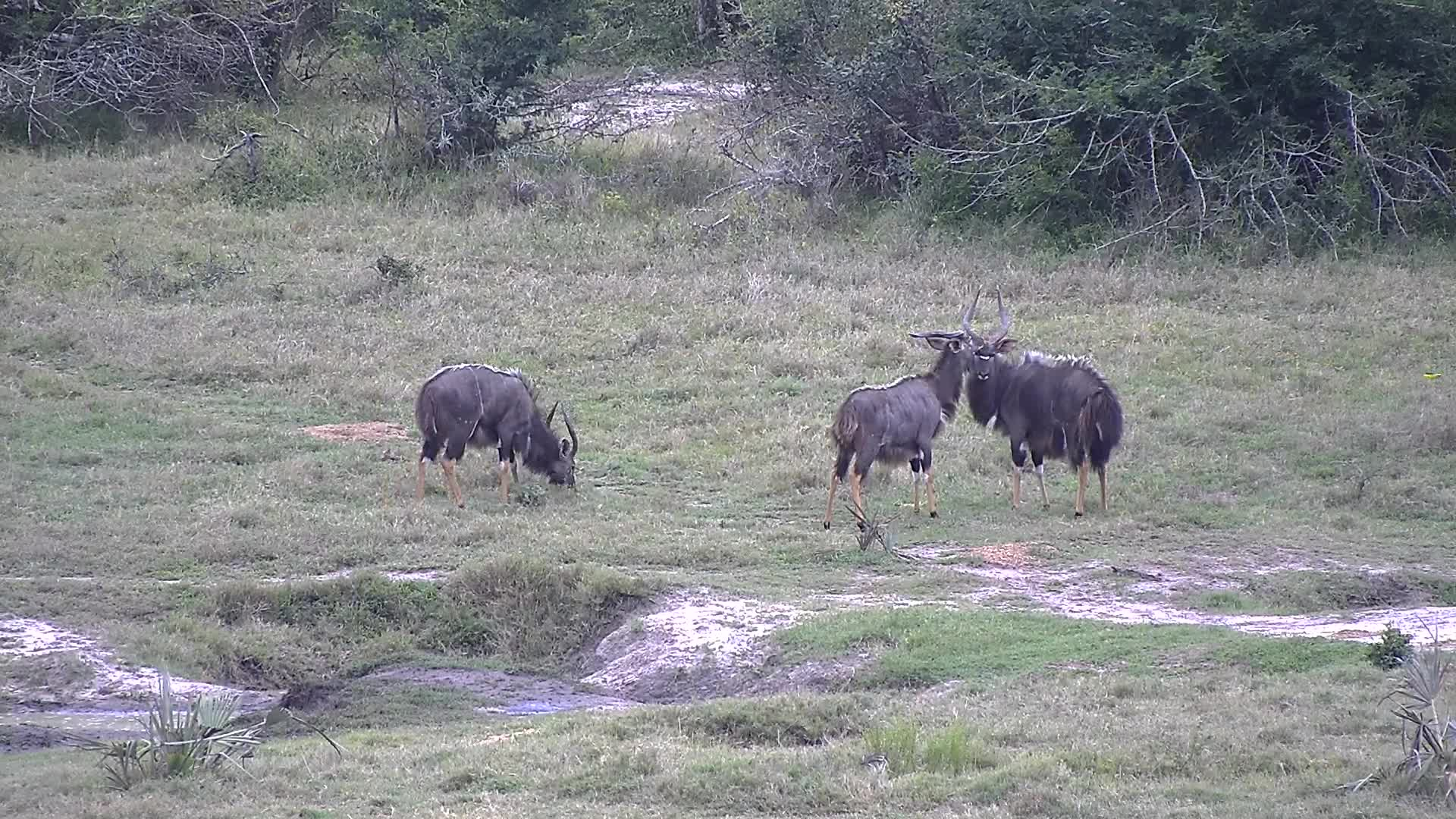 VIDEO:  Male Nyala looking around for any competition