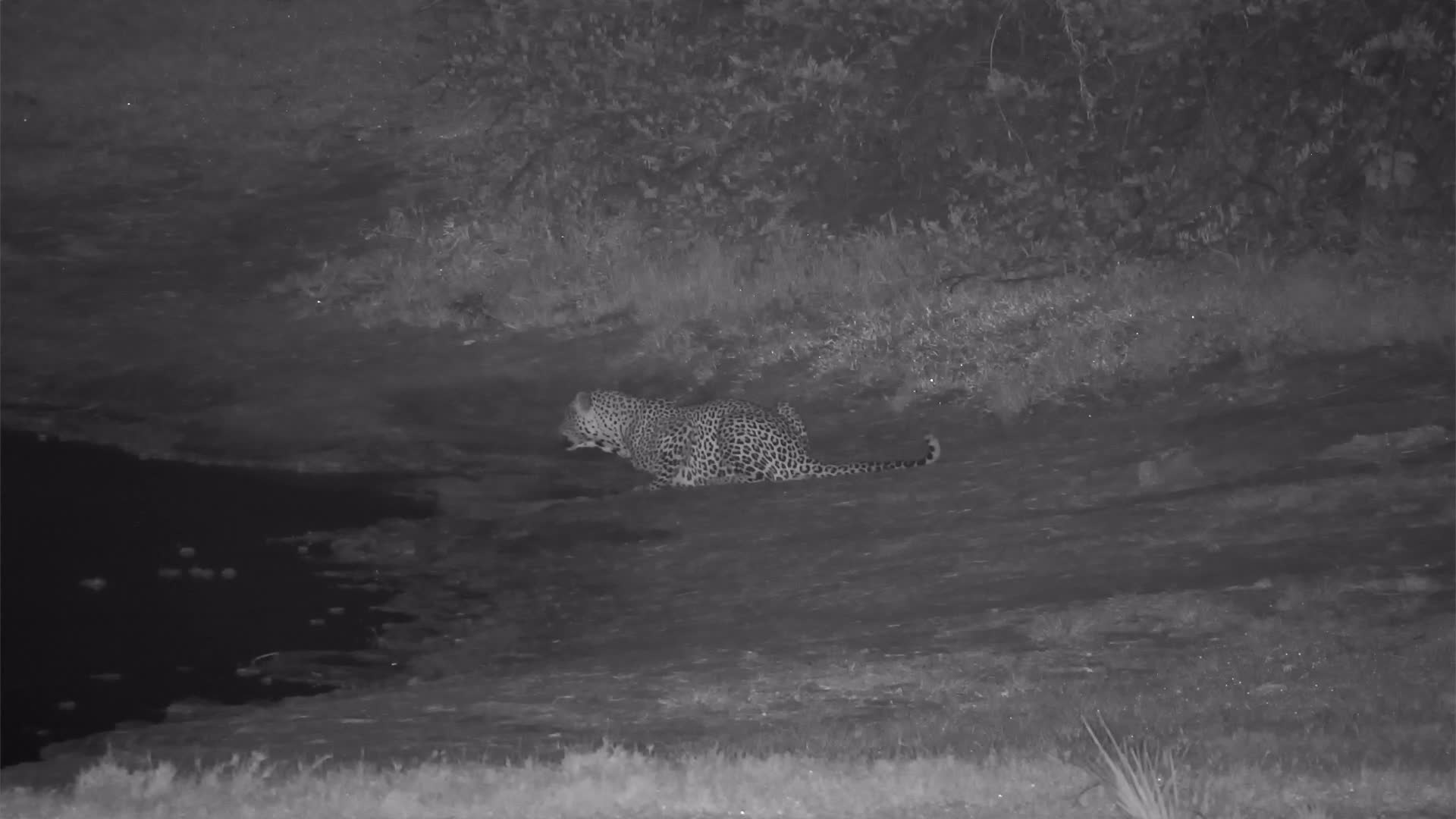 VIDEO: Leopard had a drink at the waterhole and wanders off into the bush