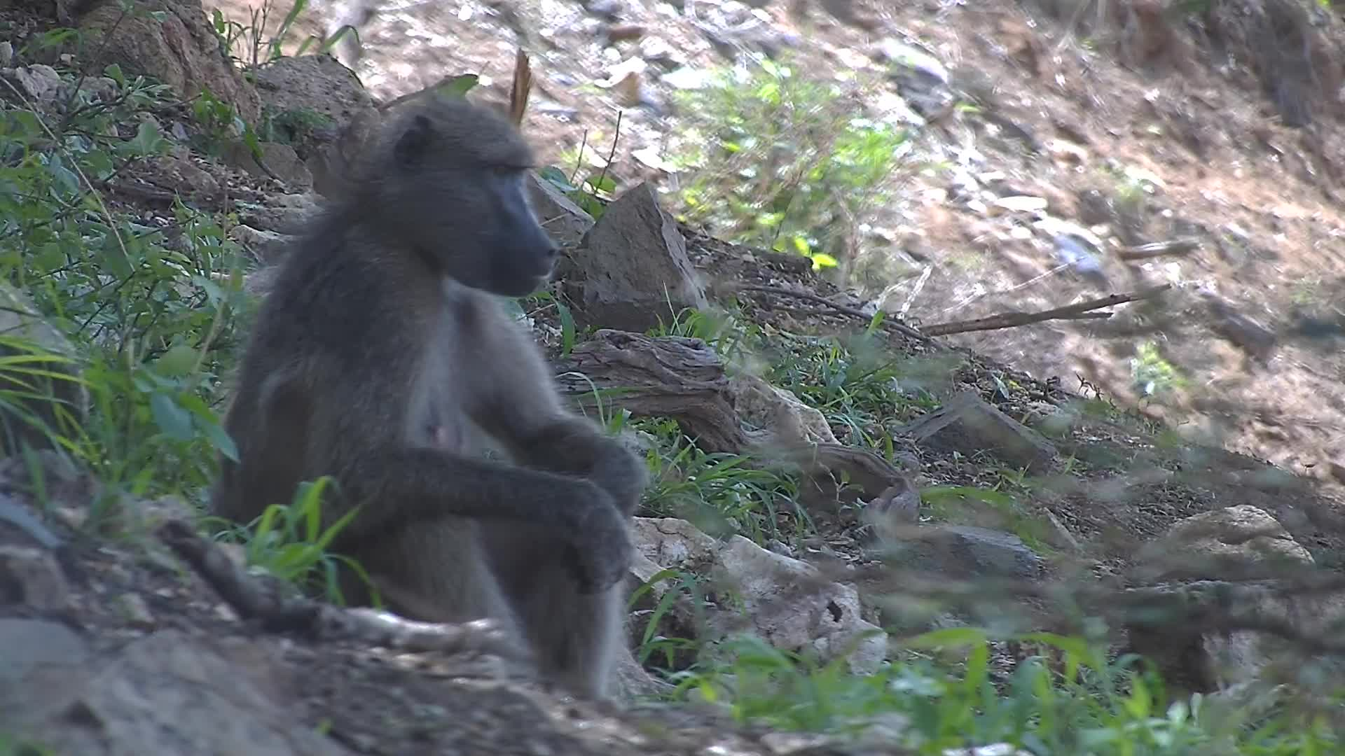 VIDEO:Baboon enjoying the shade