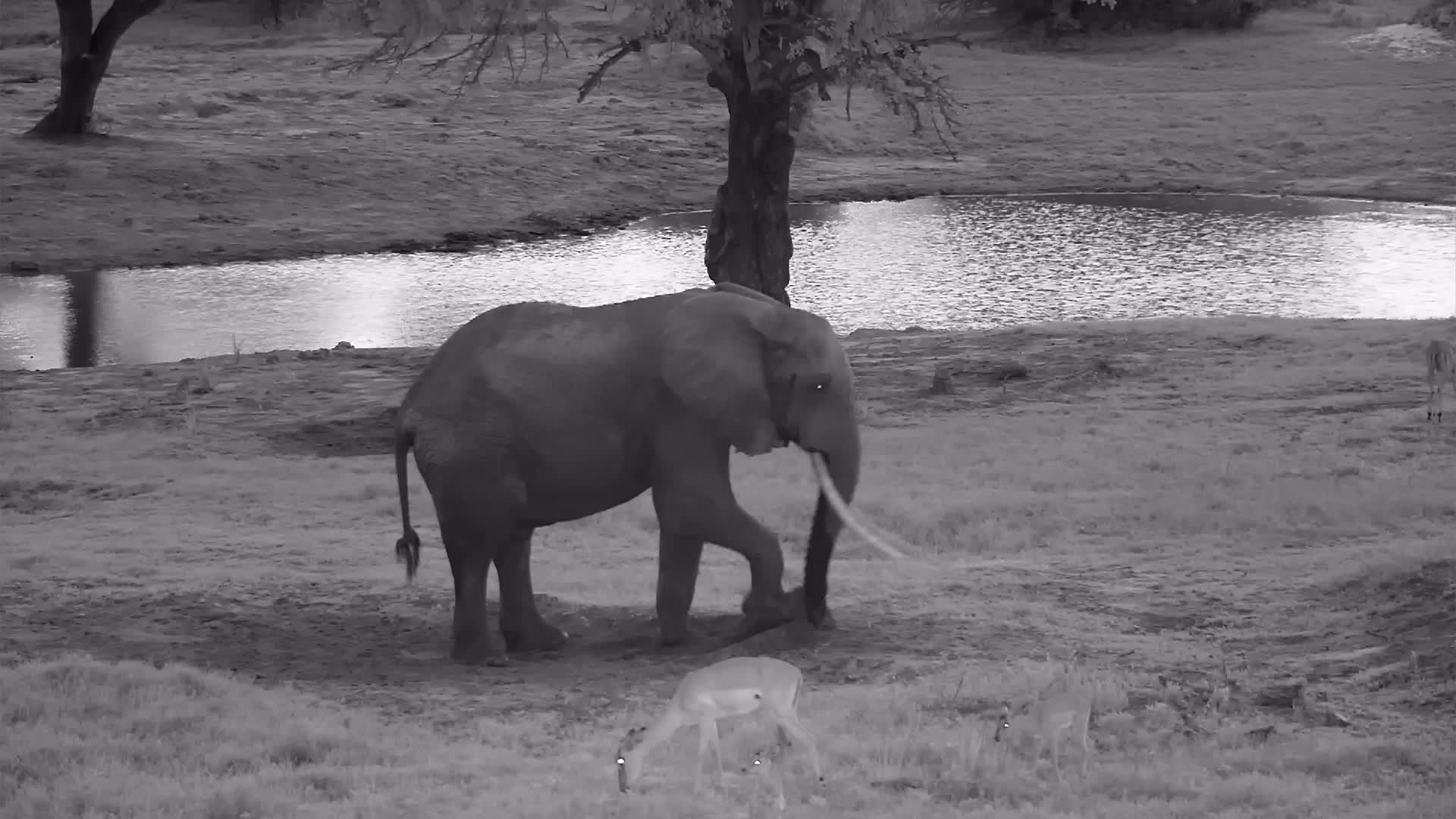 VIDEO:  Elephant:  After a drink, a good dusting and a great scratching post