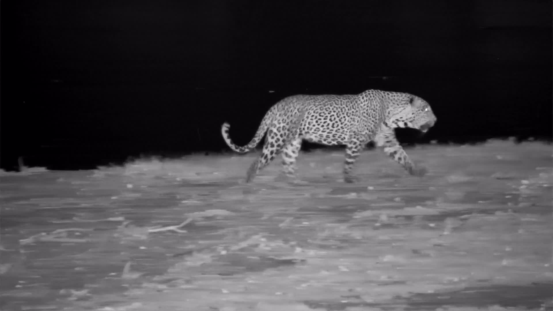 VIDEO: Leopard drinks and then passes an Elephant on the way back to the bush