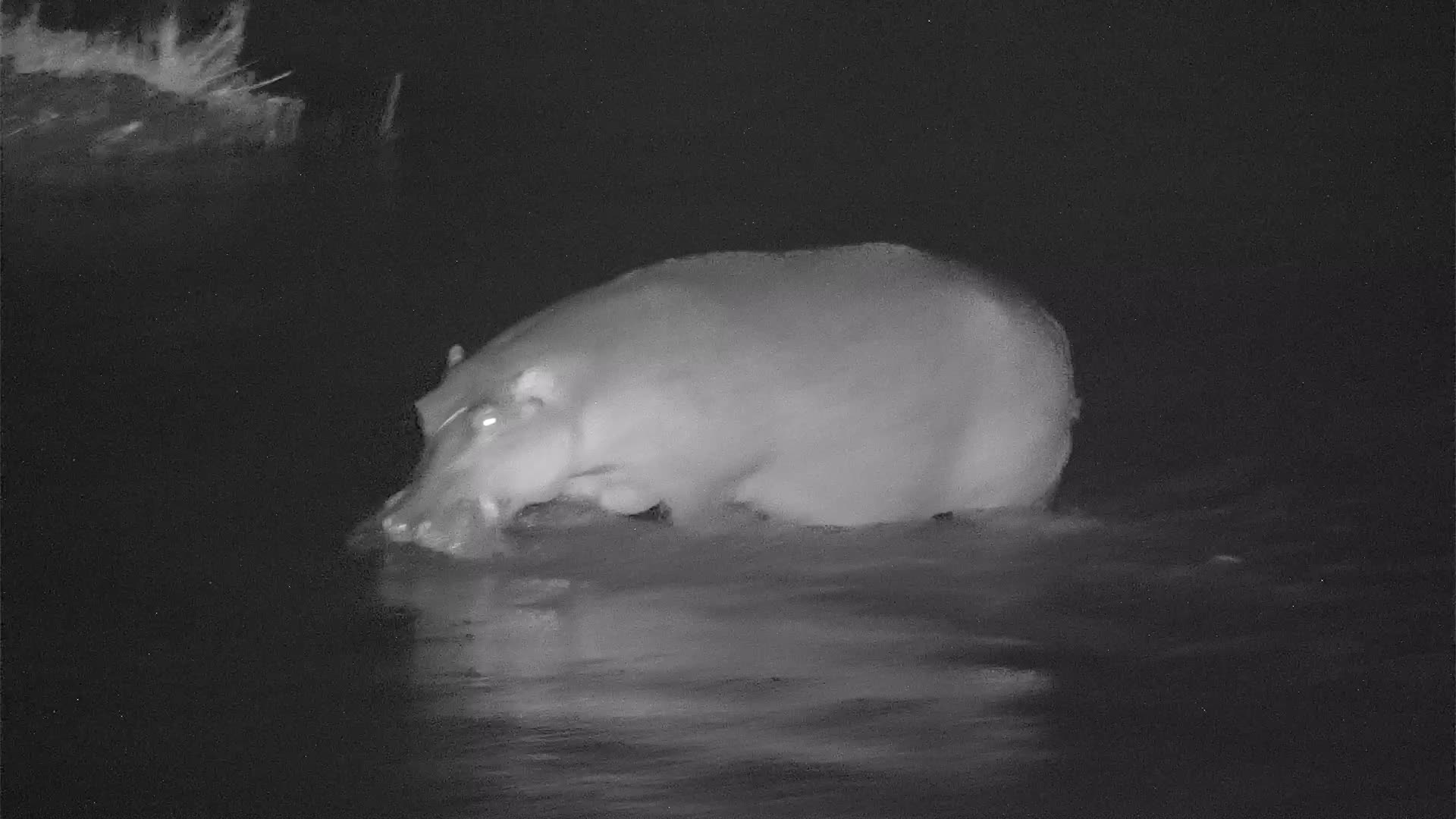 VIDEO: Hippo, in a hurry, crosses the river