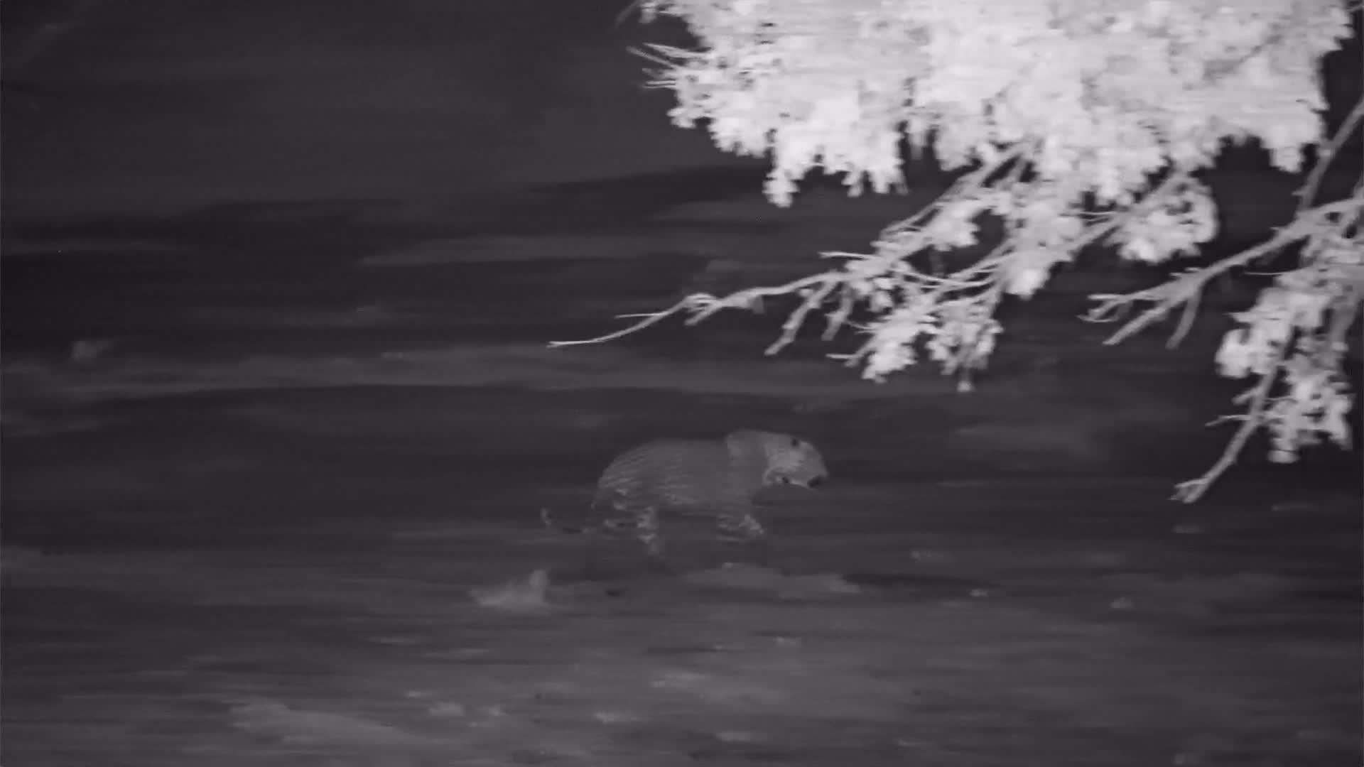 VIDEO: Leopard strolling past the waterhole on the far side