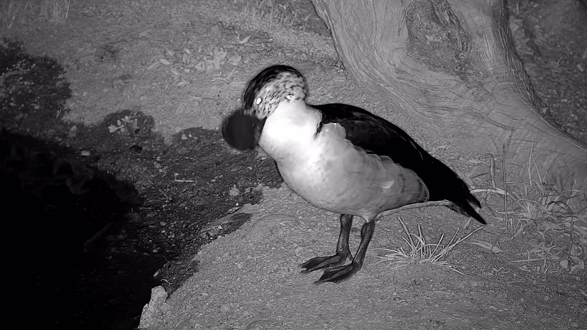 VIDEO: African Comb duck at  the  waterhole