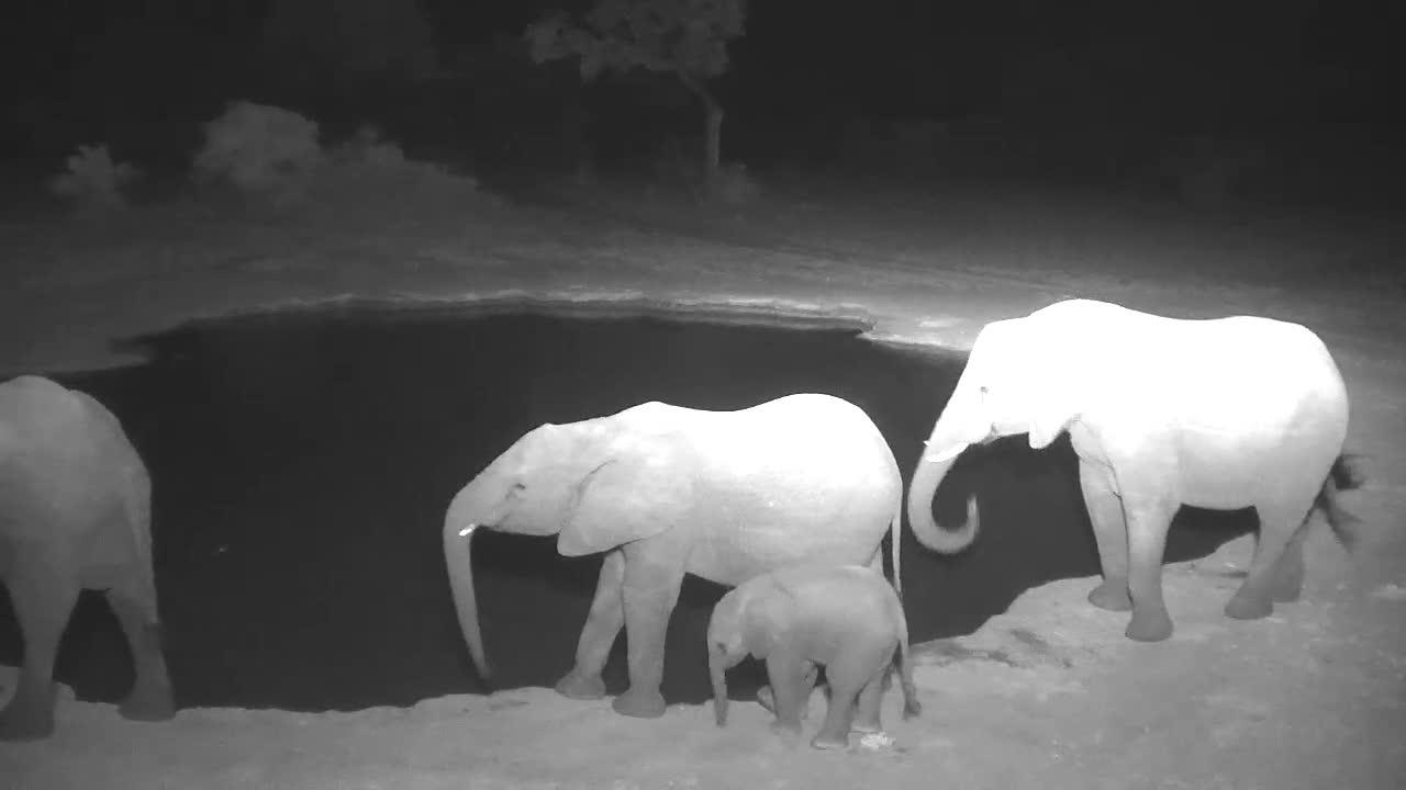 VIDEO: Breeding Herd of Elephants wanders past the waterhole, but does not stop to drink
