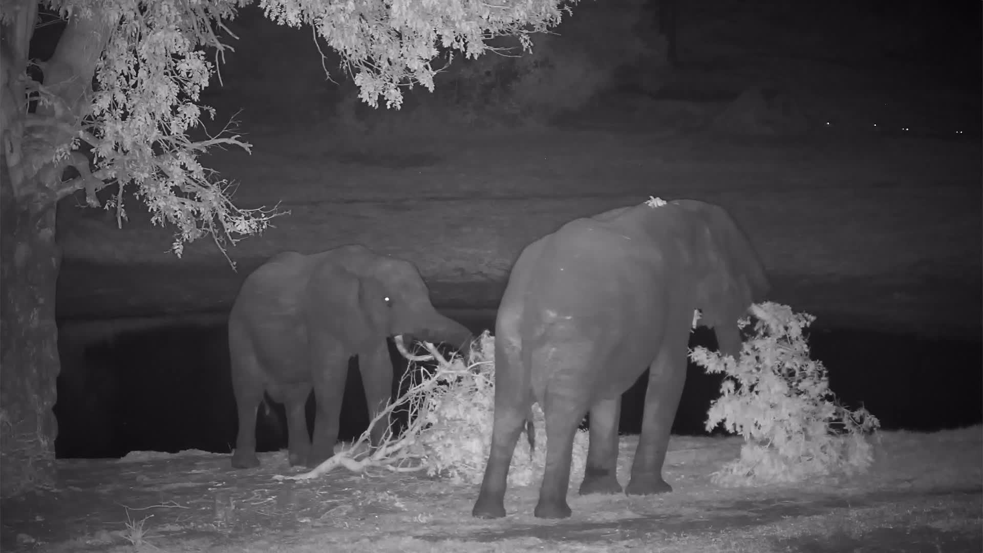 VIDEO: Elephant tore a branch off a tree for the fresh leaves and then shared it with his friend