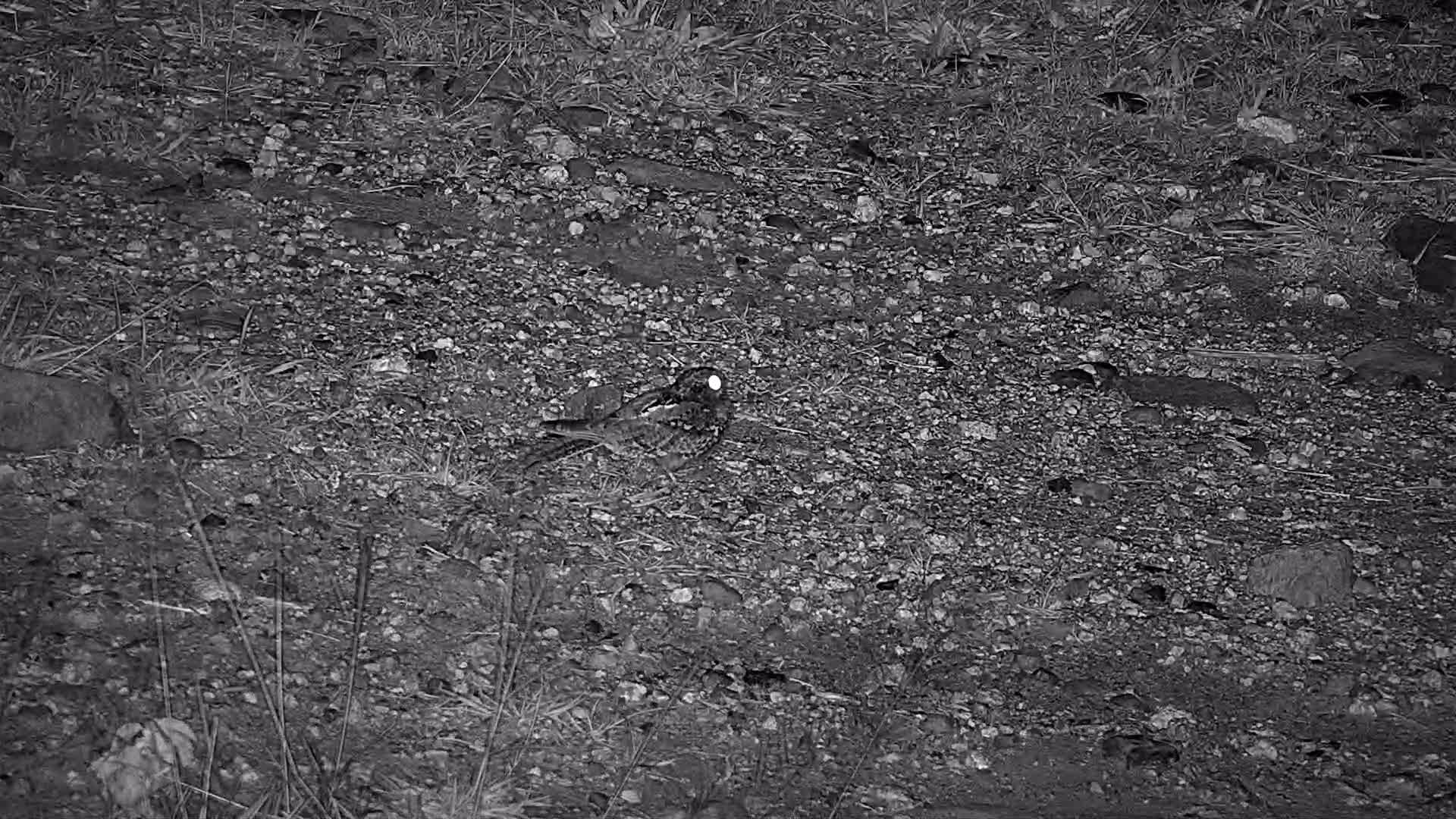 VIDEO: Nightjar, hunting for food