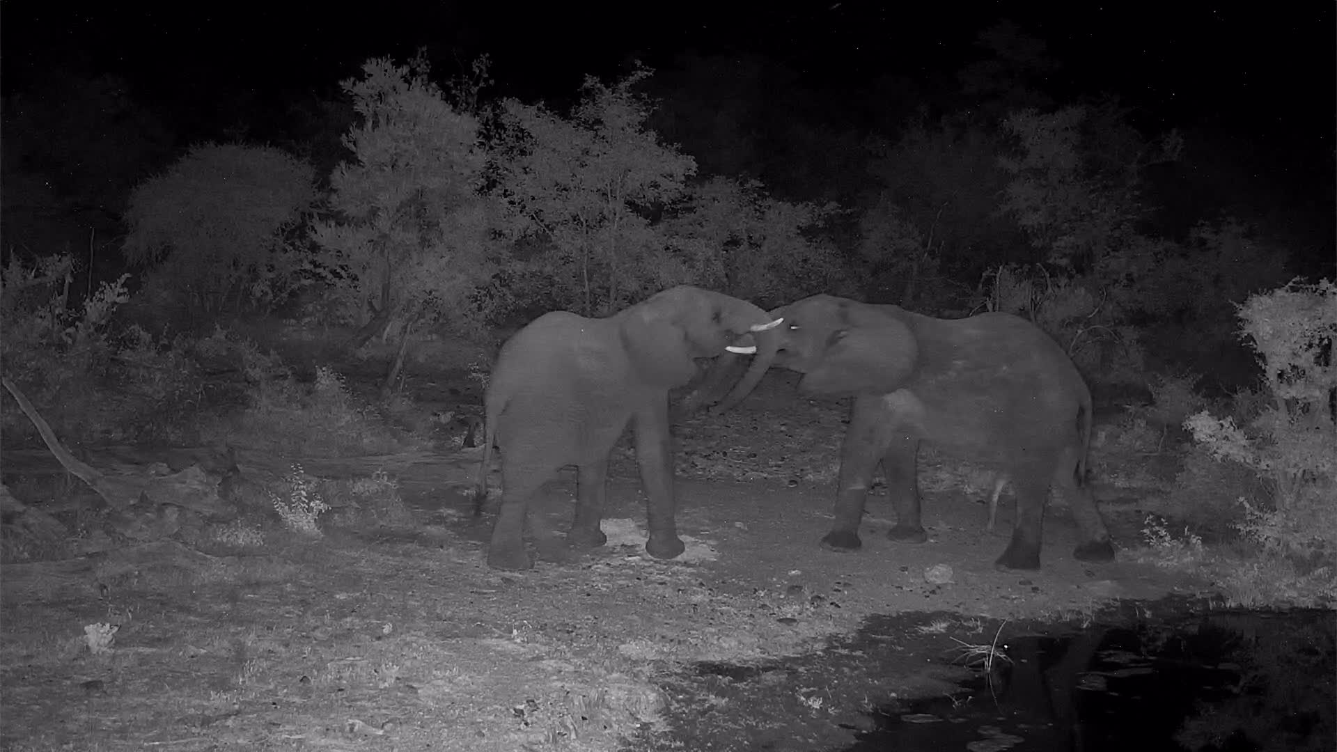 VIDEO: Young Elephants wrangling at the shore of the waterhole