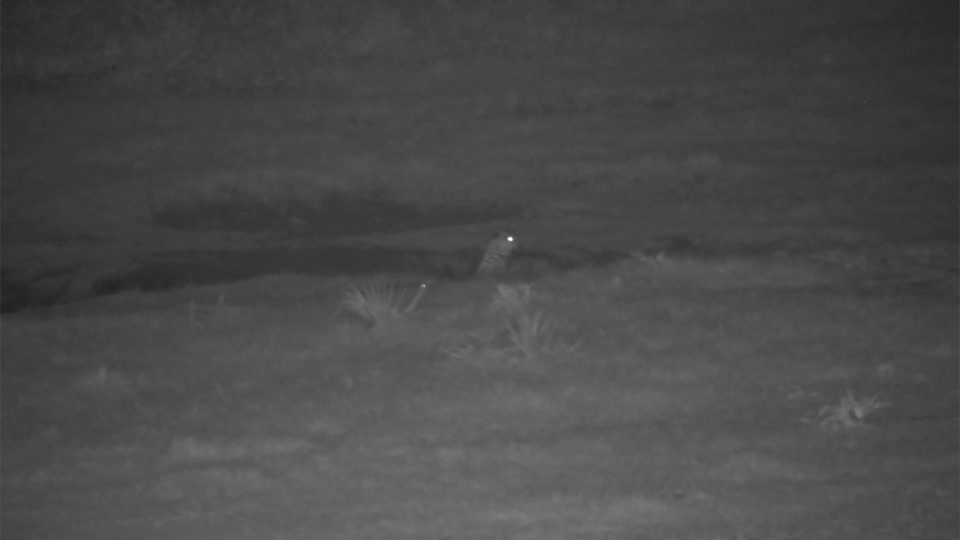 VIDEO: Leopard on the prowl walks right by the Impalas