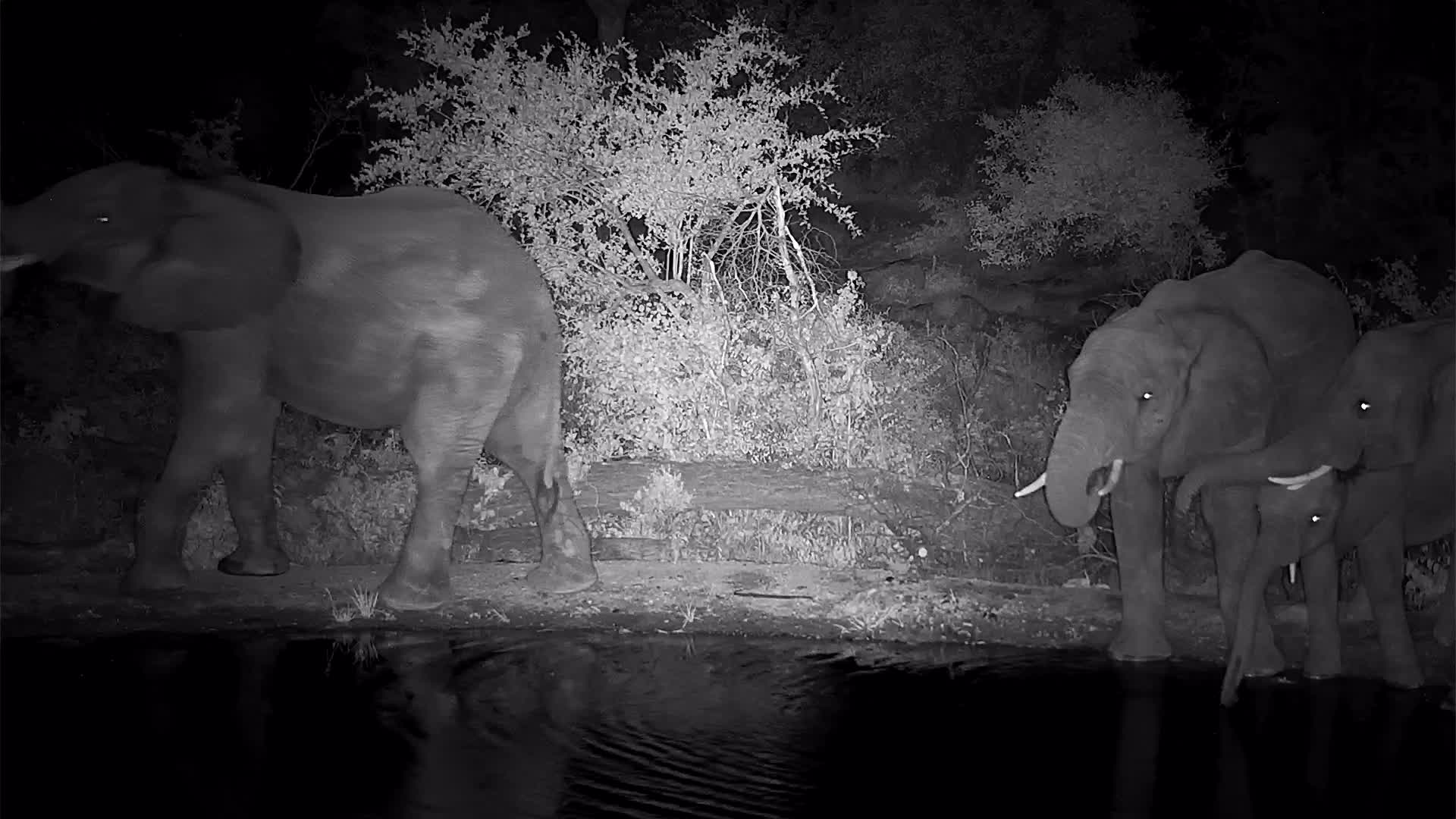VIDEO: Elephants drinking and young bulls wrangling