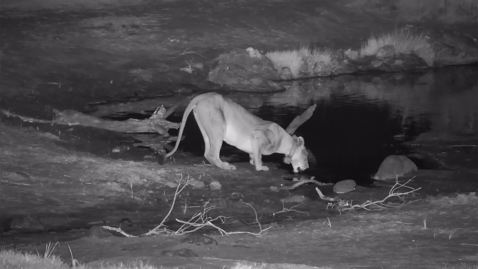 VIDEO: Lion drinking then resting at  the waterhole