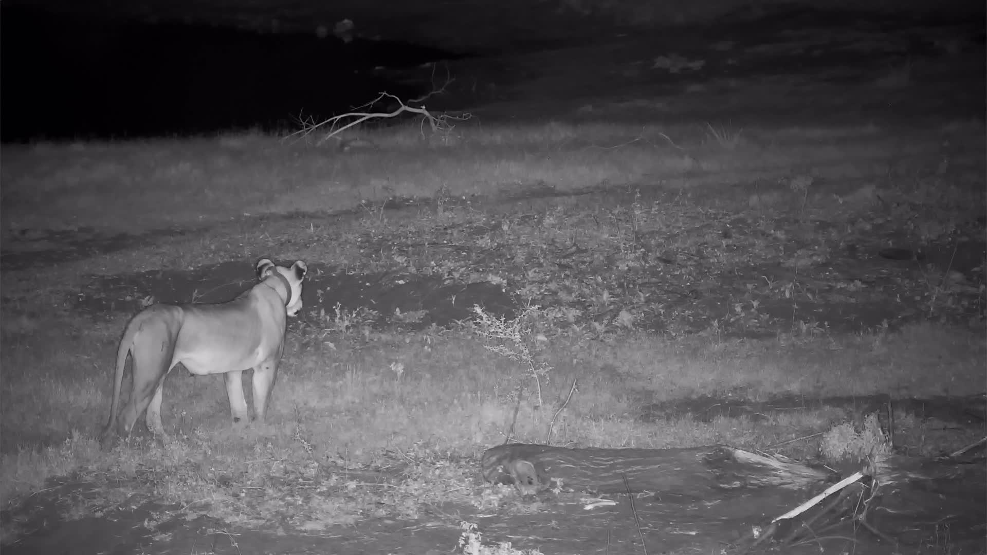VIDEO: Lioness roars, looks around and slowly walks away