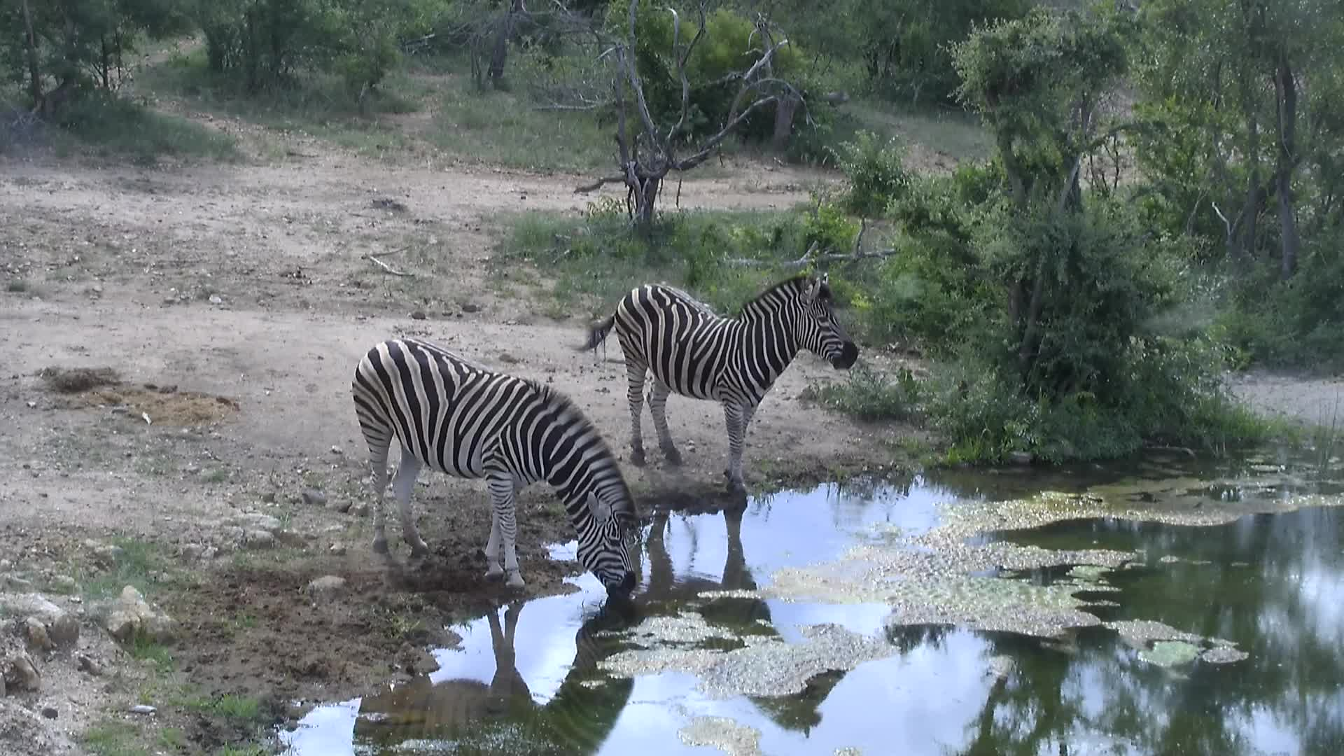 VIDEO: Zebra at the waterhole