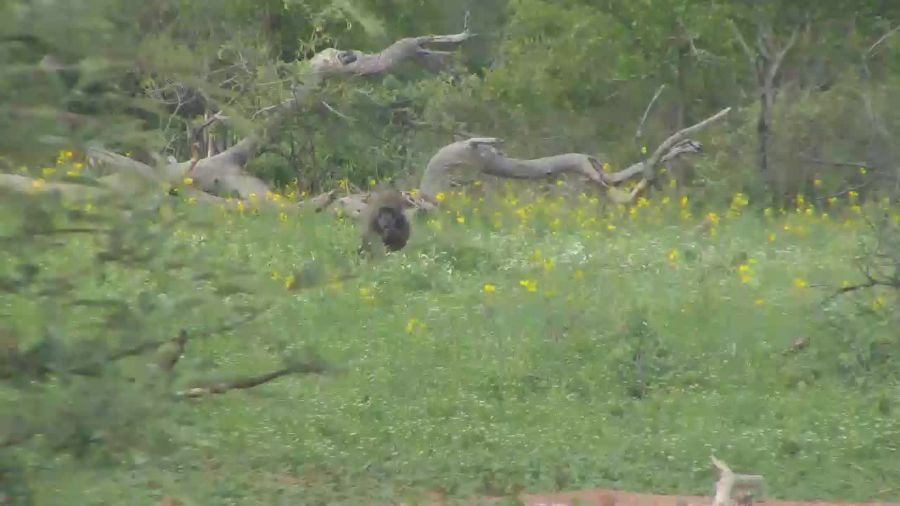VIDEO: Baboons foraging on the far side of the water hole