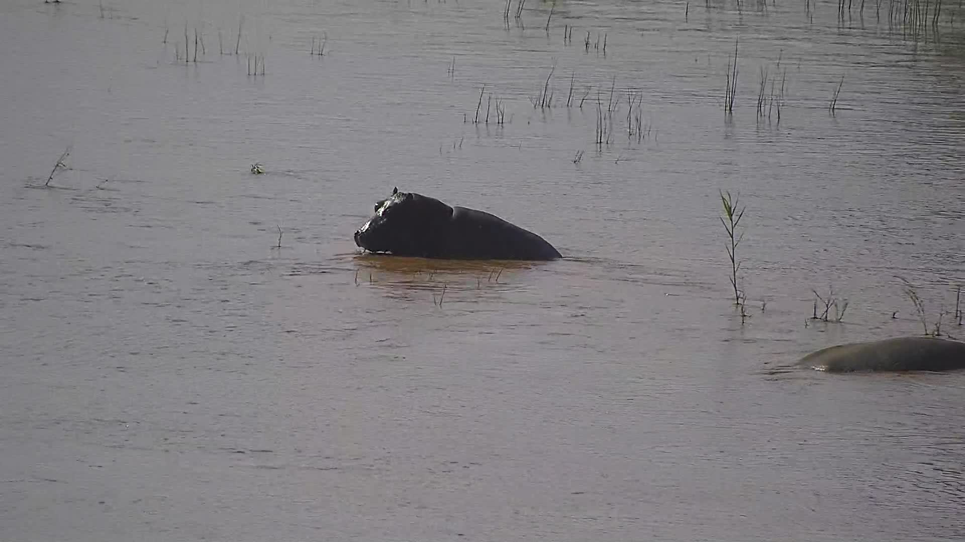 VIDEO: Hippos enjoy the high water level