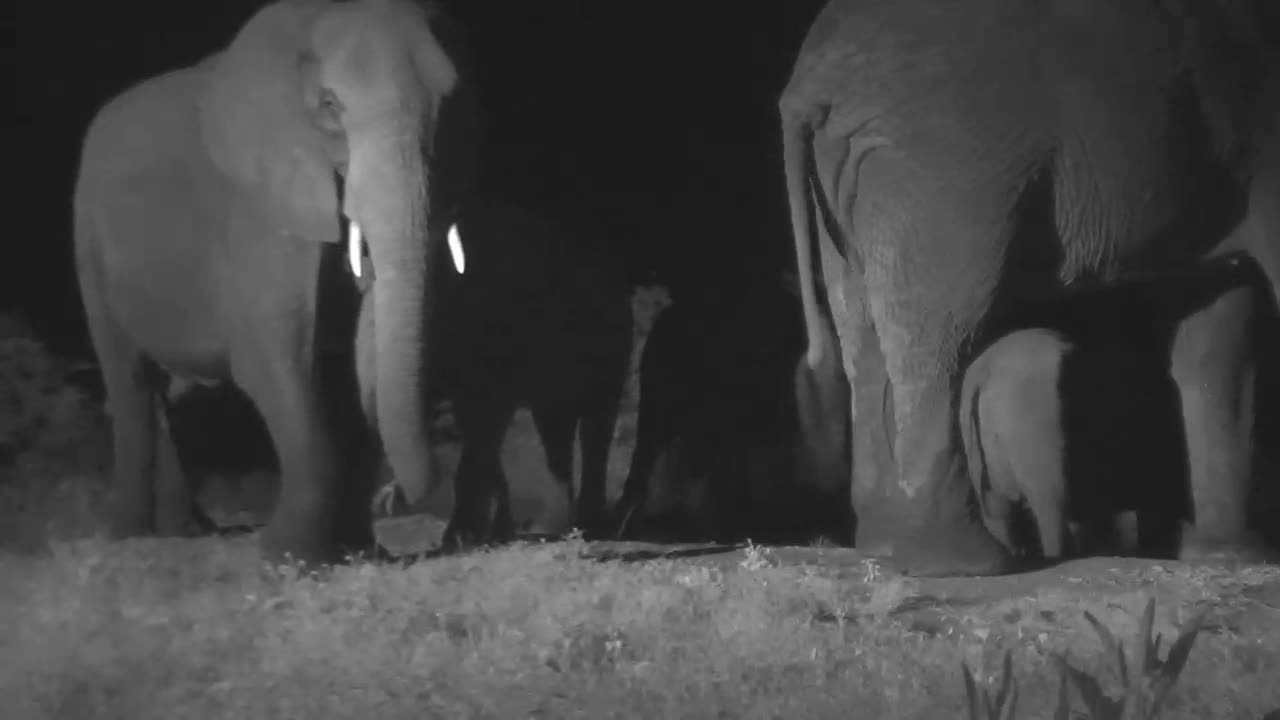 VIDEO:Boisterous Breeding Herd of Elephants at the Water Trough