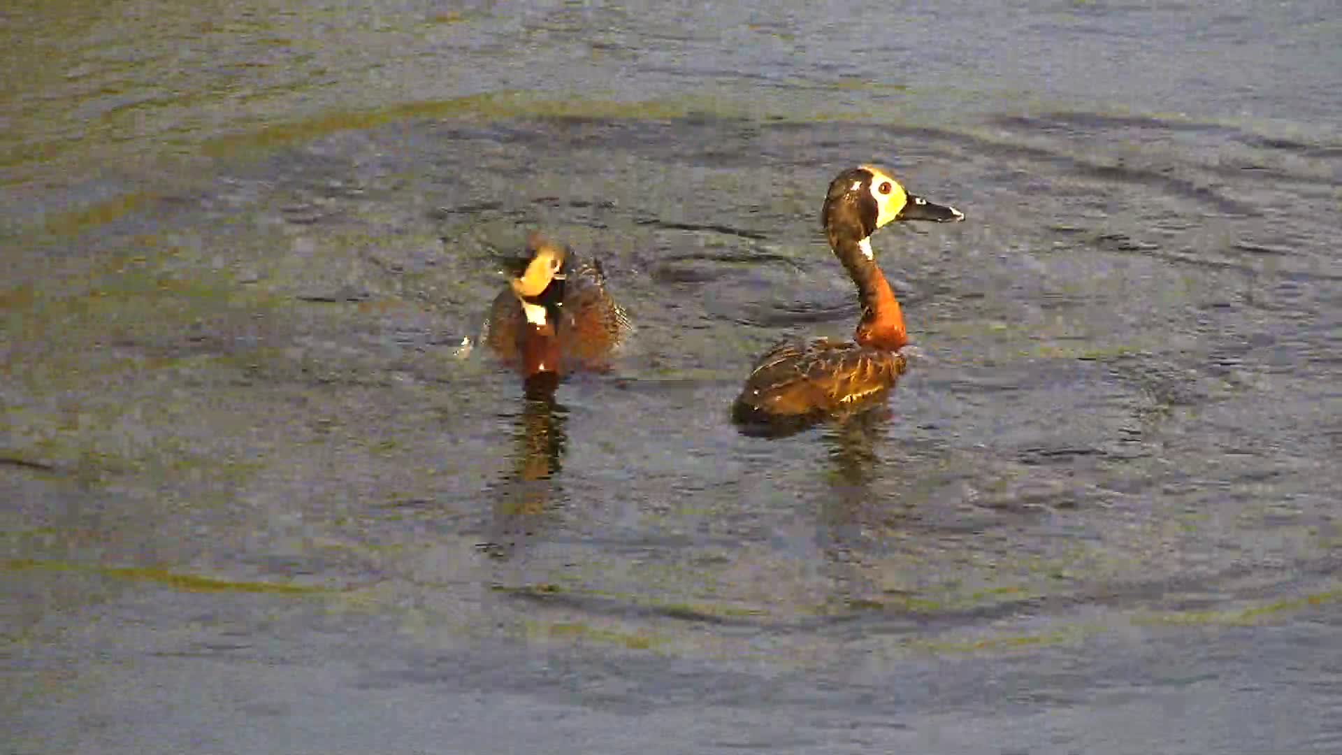 VIDEO: Pair of White-face Whistling Ducks in the early morning sunlight as they dive in the water