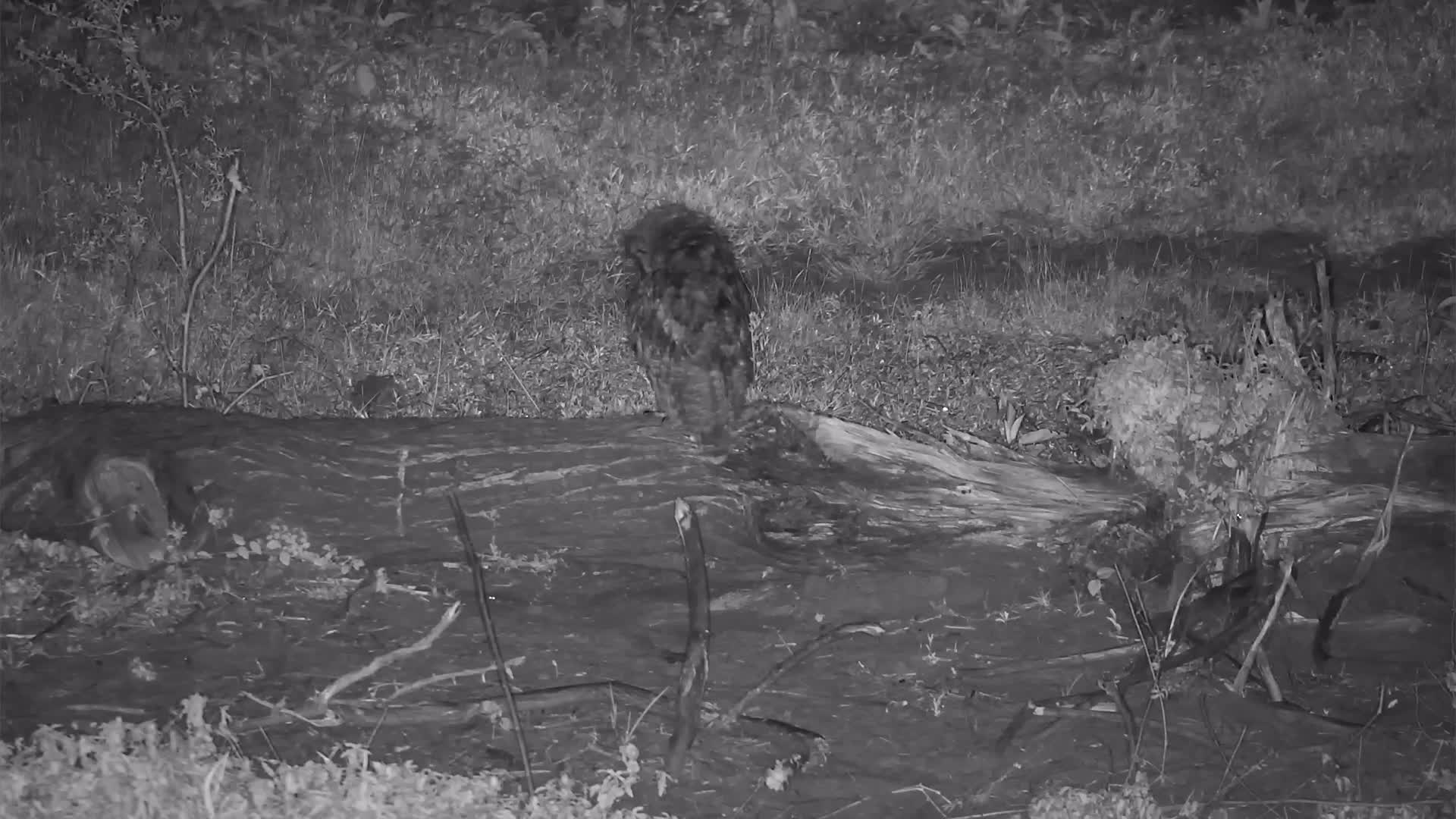 VIDEO: Spotted Eagle Owl Preening
