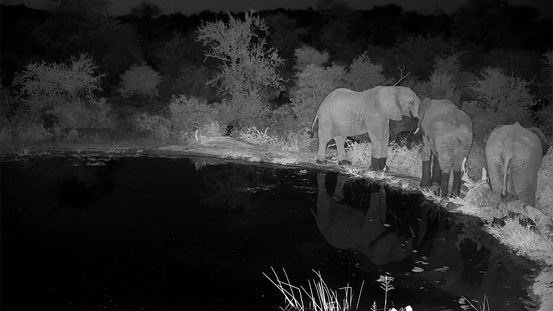 VIDEO: Cape Buffalo herd joined by Elephants at the waterhole Pt 2