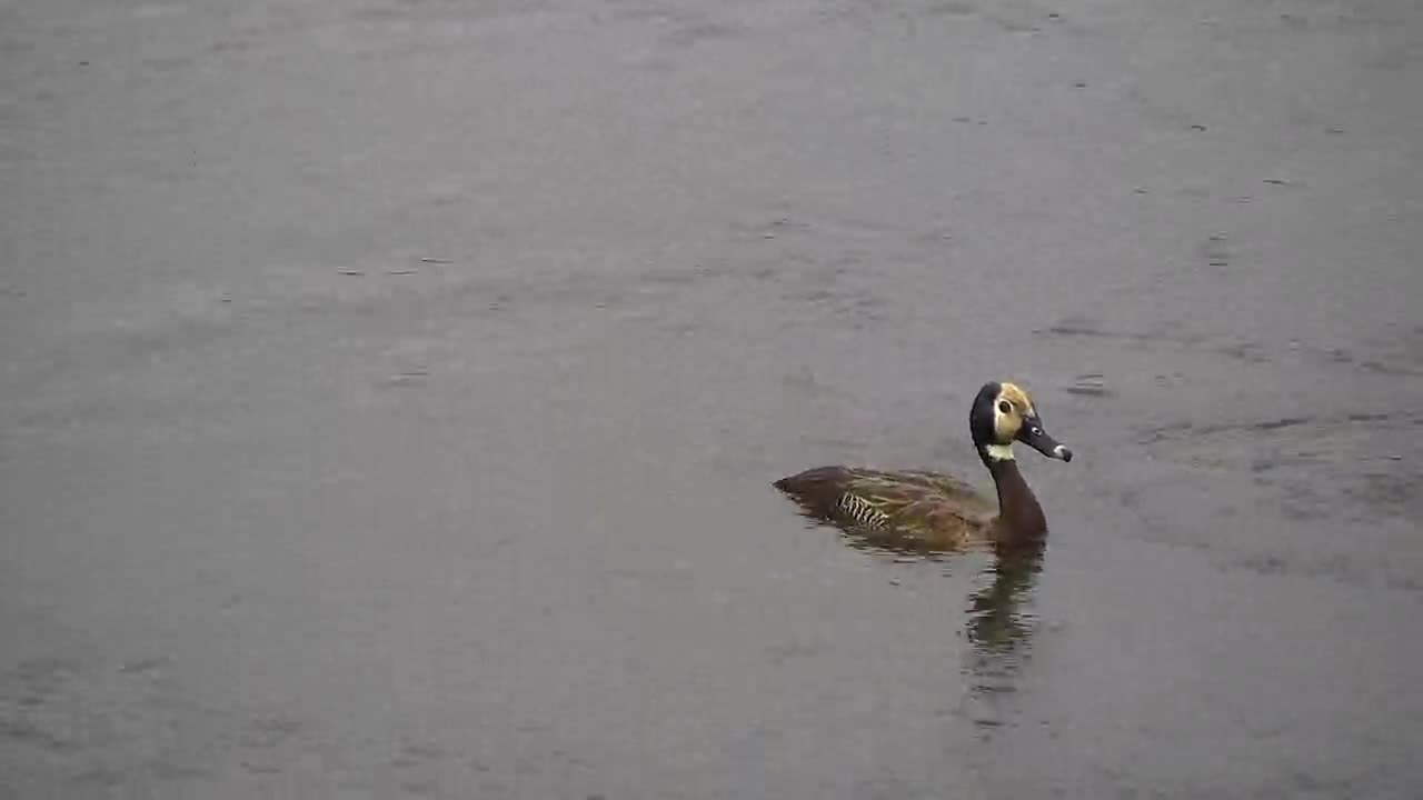 VIDEO: White-faced Whistling Ducks having a fun time looking for food