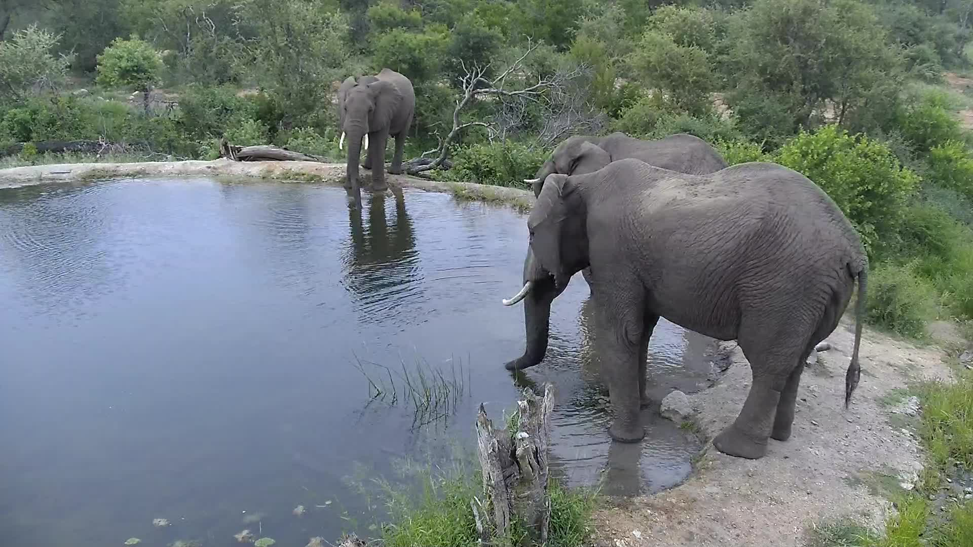 VIDEO:  Elephants coming for a drink
