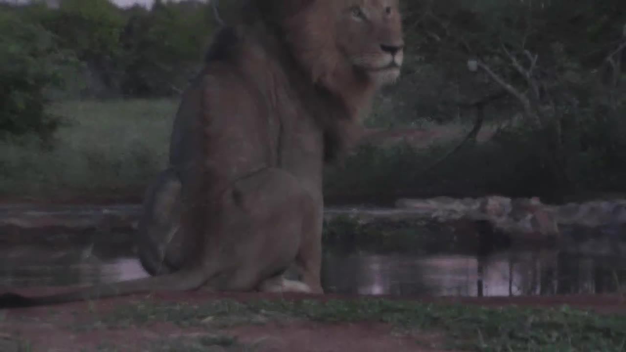 VIDEO: Lion at the waterhole for a short drink
