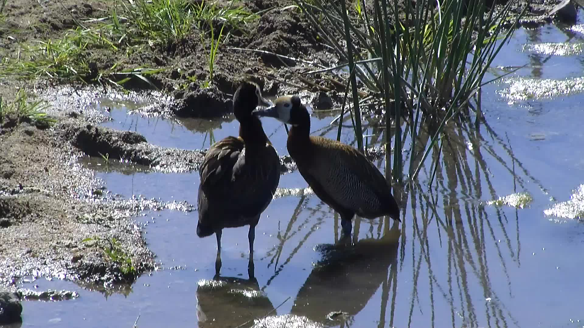 VIDEO: White-faced Ducks preeing each other