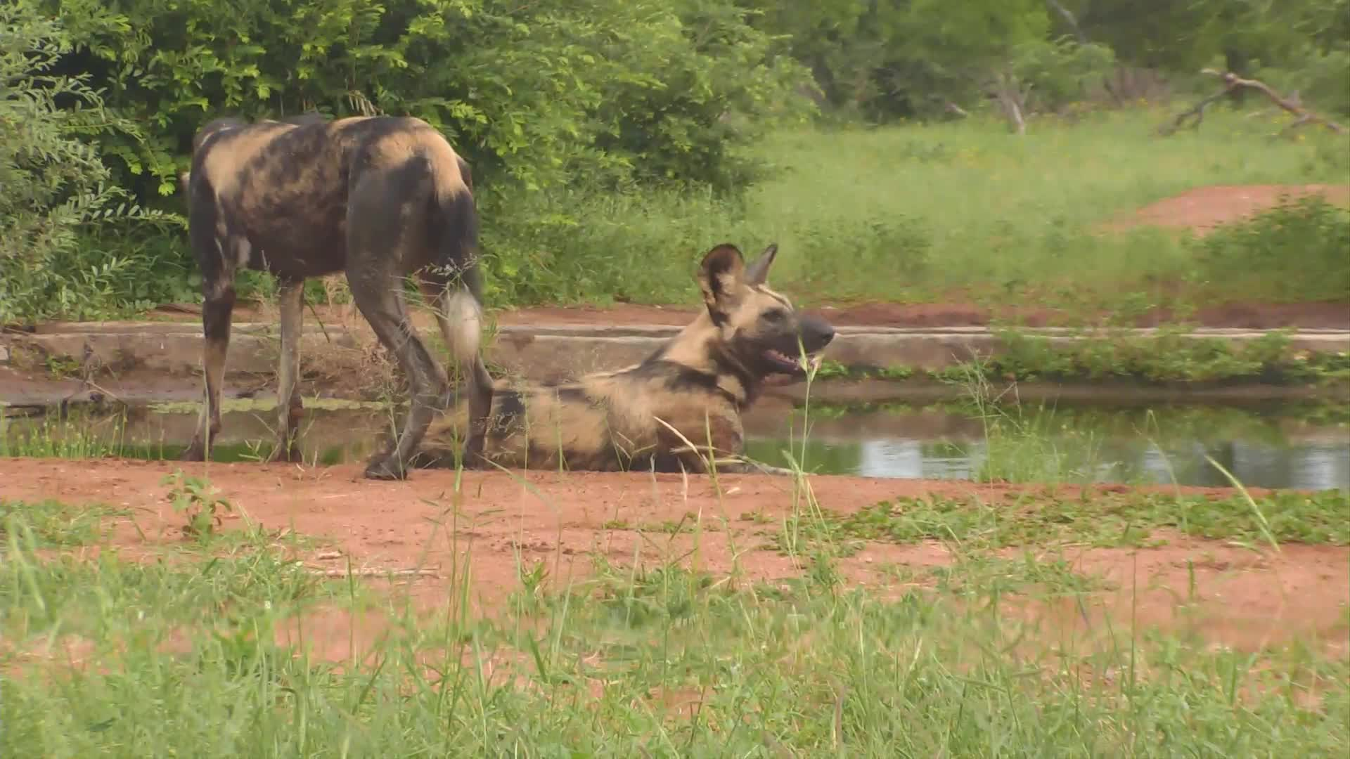 VIDEO: 3 African Wild Dogs at the waterhole