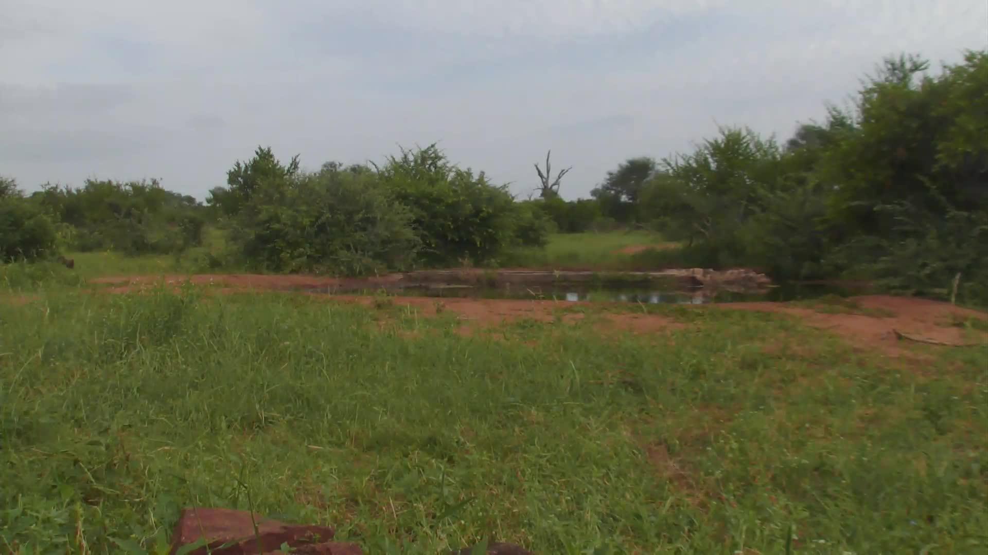 VIDEO: African Wild Dogs left the waterhole area