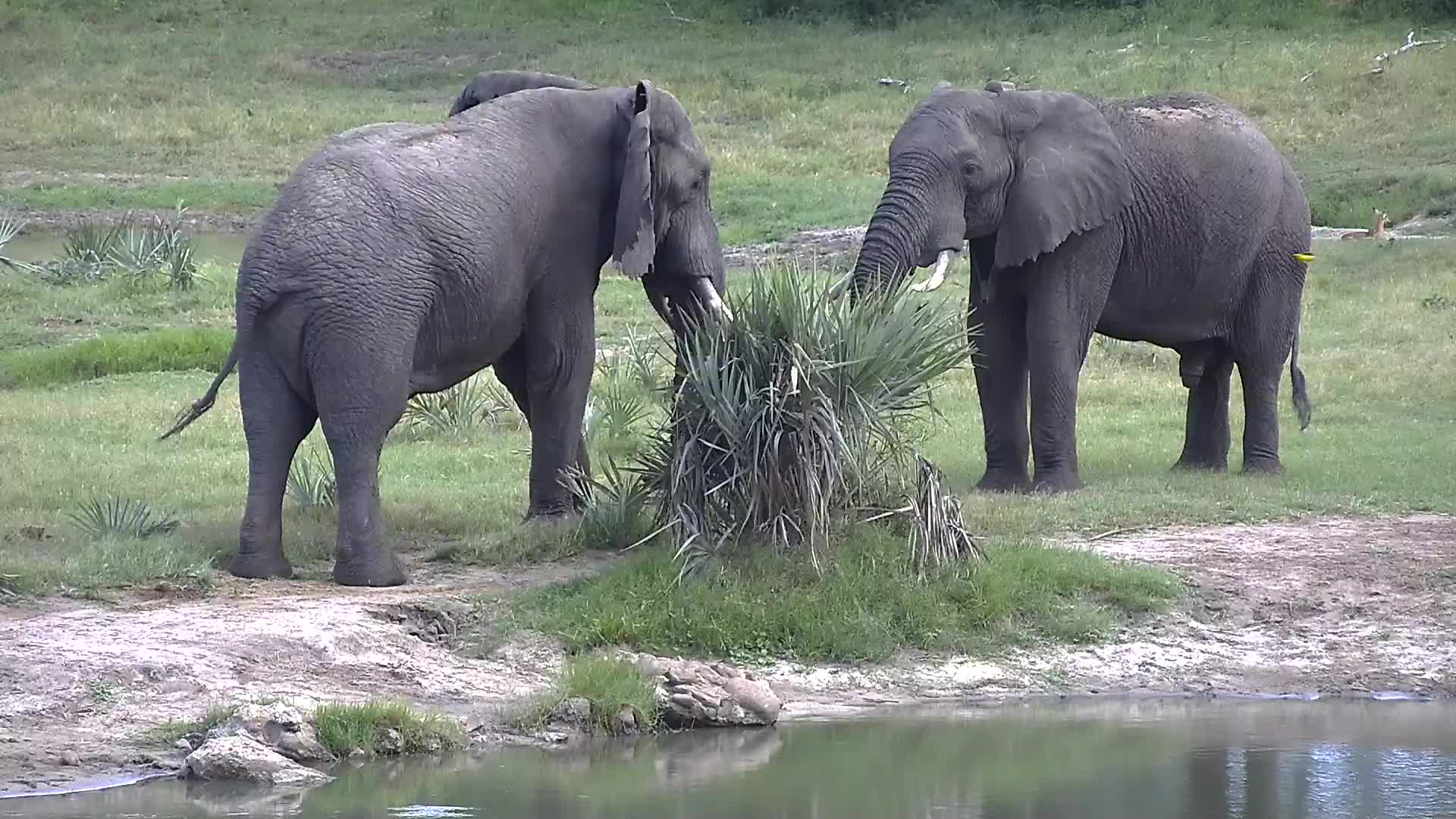 VIDEO:Elephants wrangling at the shore of the waterhole