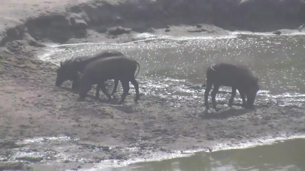 VIDEO: Warthog Family enjoys the mud at the waterhole