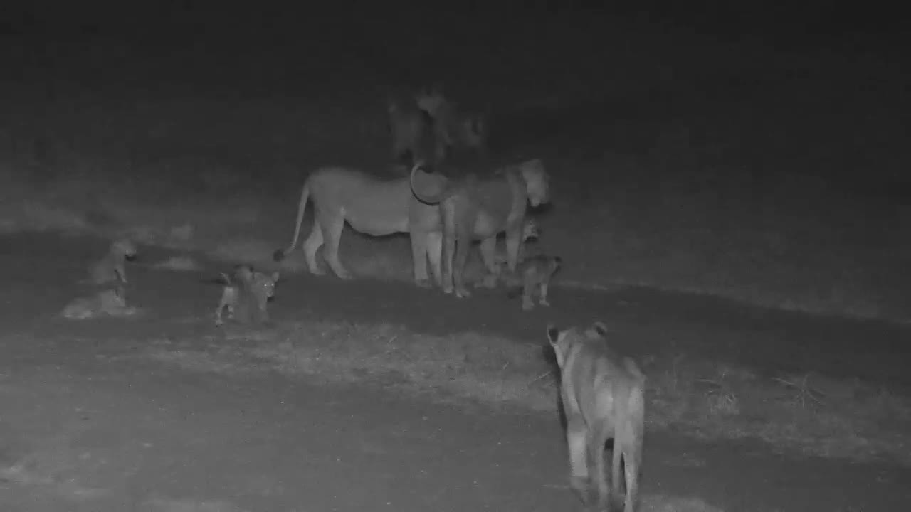 VIDEO: Lion Pride with cubs have a drink and short rest