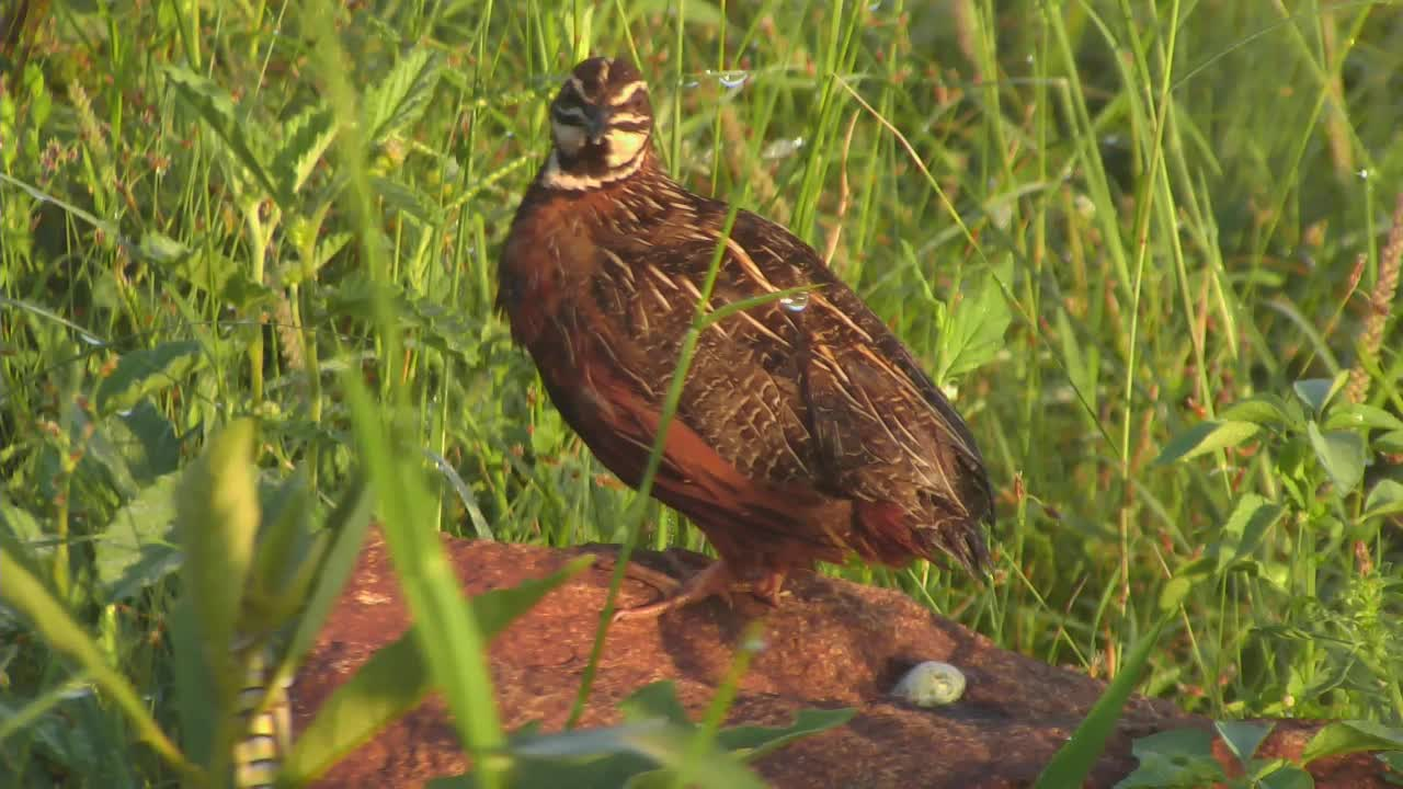 VIDEO: Harlequin Quail calling out in the morning
