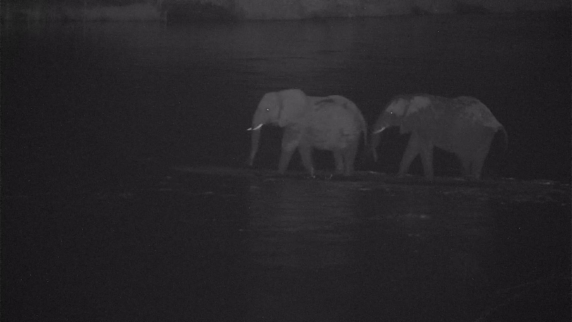 VIDEO: Elephants crossing the river to enjoy the reed at the shore