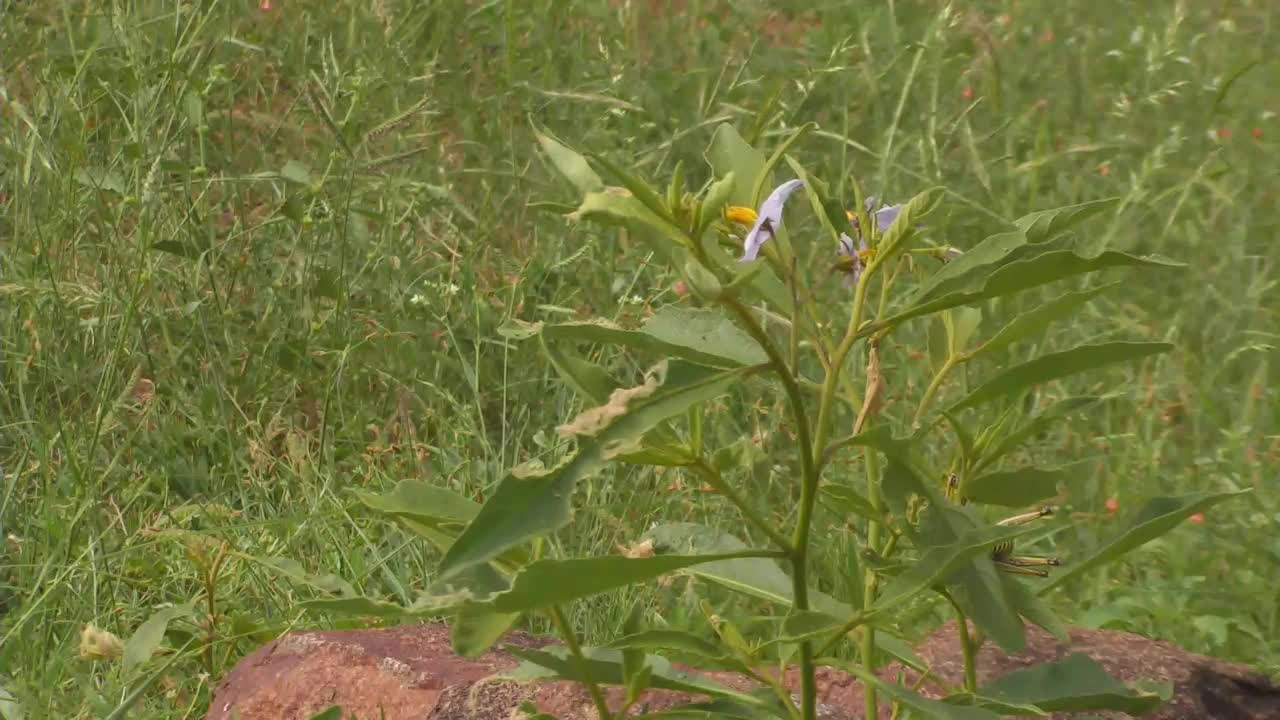 VIDEO: Solanum - Devil's Apple - Grasshopper mating, bee collecting pollen and a butterfly resting on a leaf