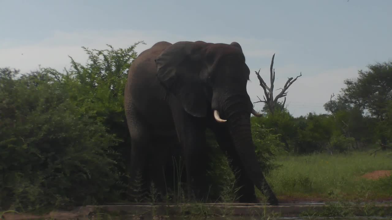 VIDEO: Elephant came for an extensive drink to the waterhole