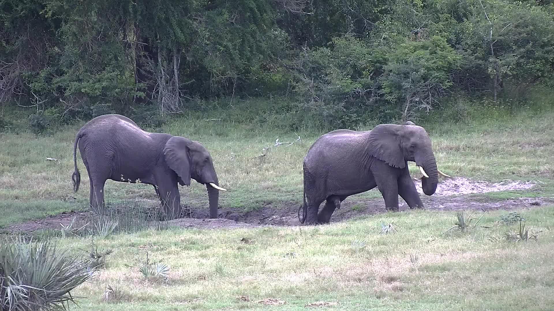 VIDEO:  Elephants enjoying a mud bath