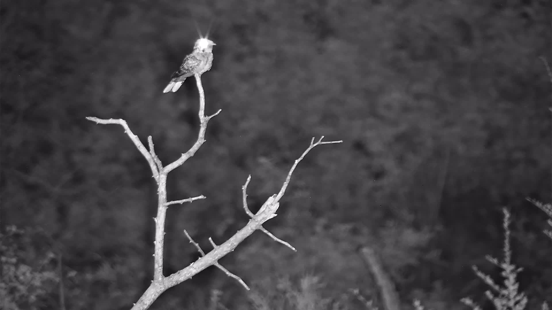 VIDEO:  Fiery  Necked Nightjar Singing