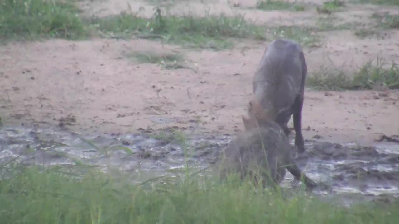 VIDEO:  Warthog babies testing each other's strength