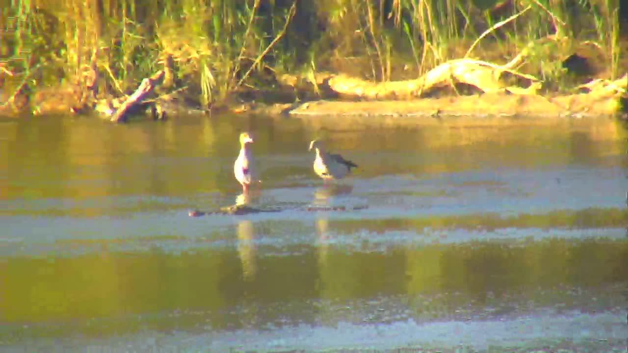 VIDEO: Egyptian Geese keeping an eye on the Nile Crocodile