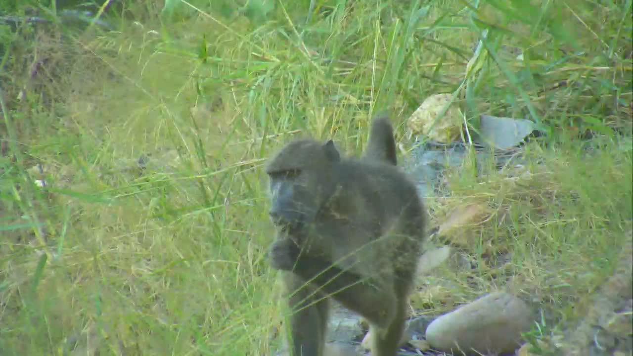 VIDEO:  Baboon grazing