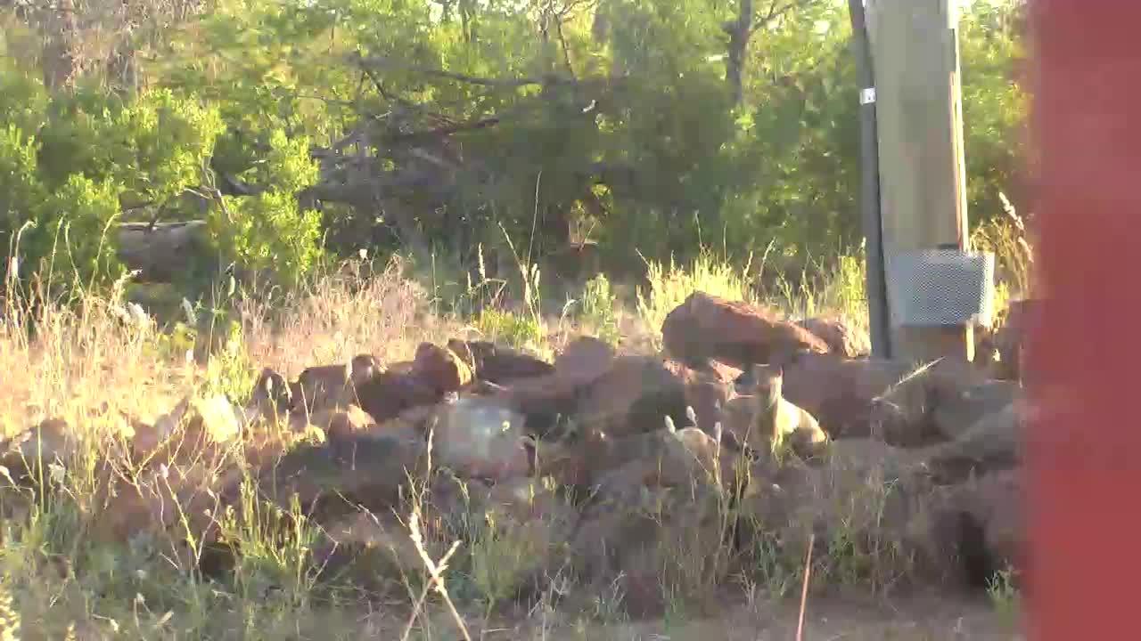 VIDEO: Dwarf Mongoose between the rocks