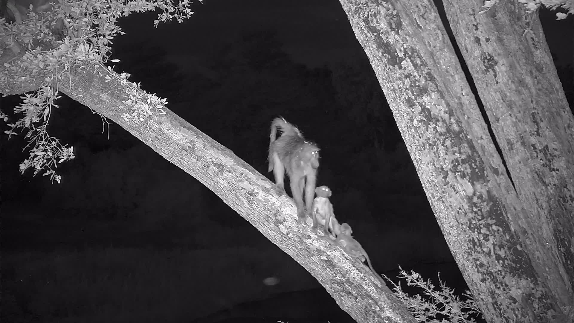 VIDEO: Baboon and youngsters in the tree