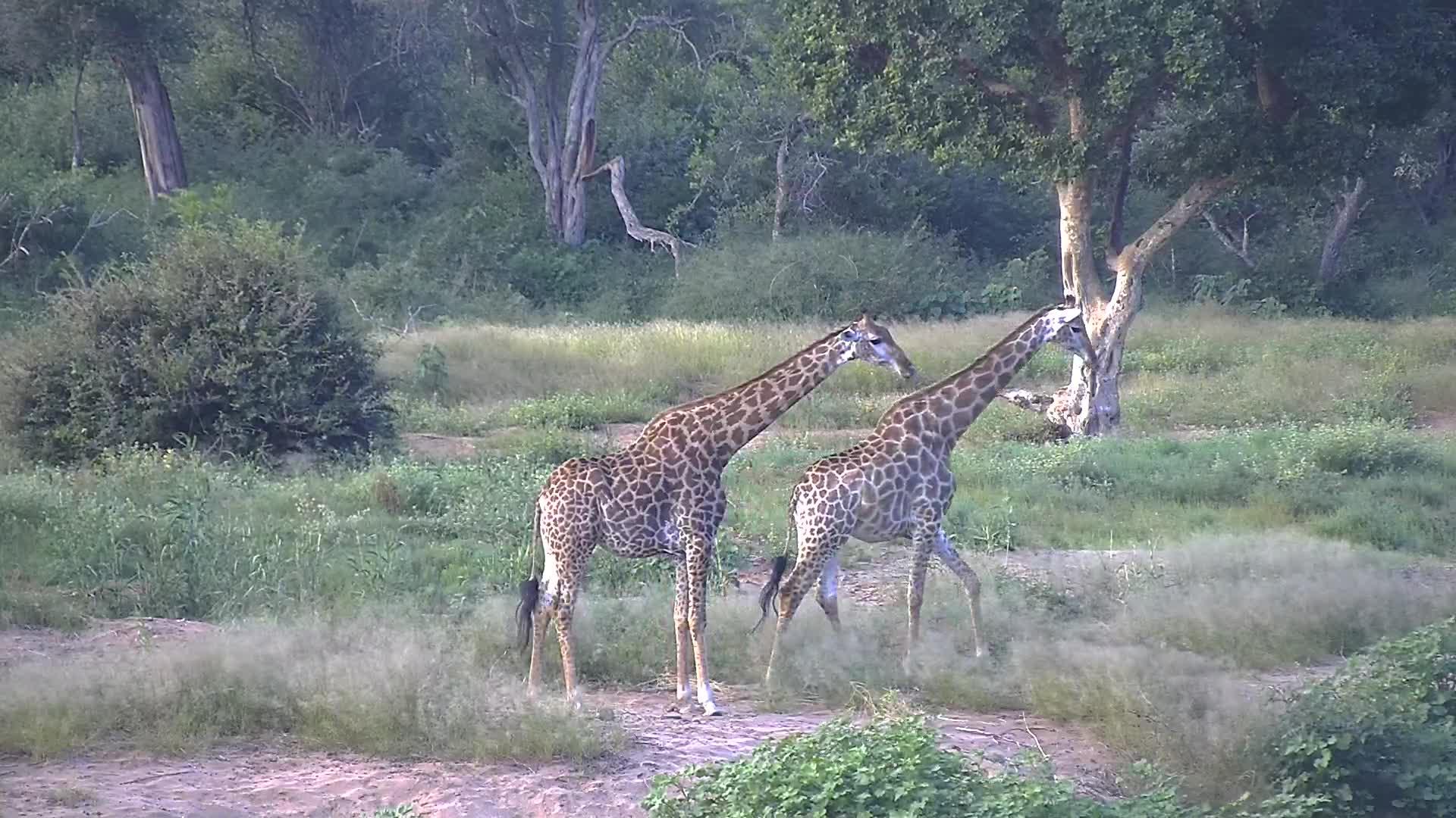 VIDEO: Lovely family of Giraffes -