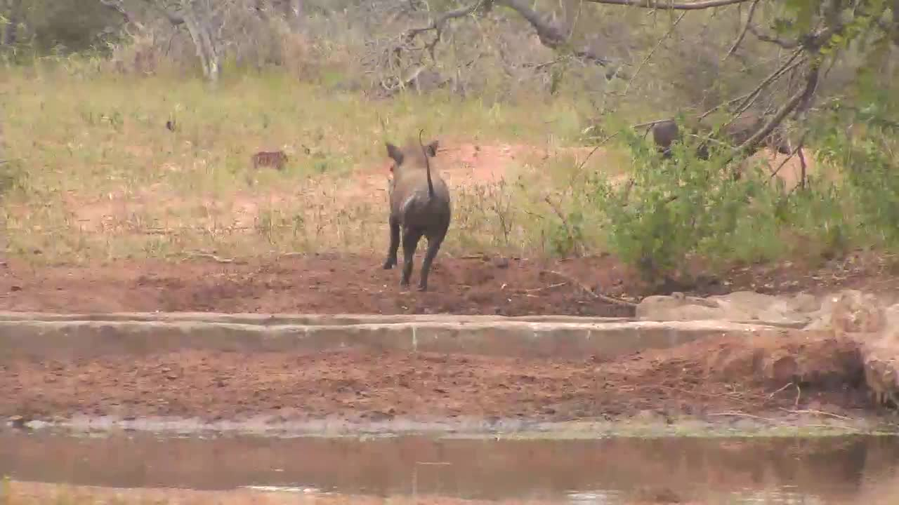 VIDEO: Warthogs - Piglets playing and scratching itself