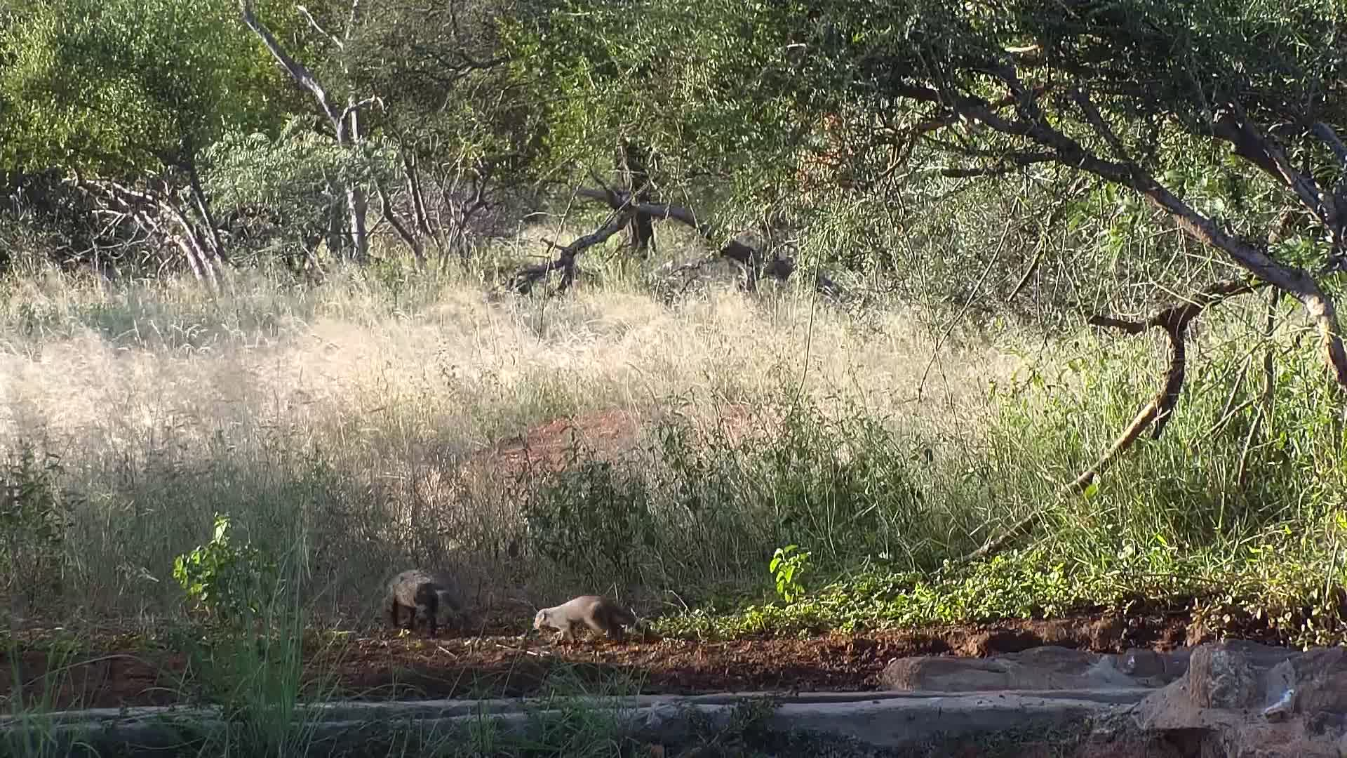 VIDEO:  Quick view of two Banded Mongooses