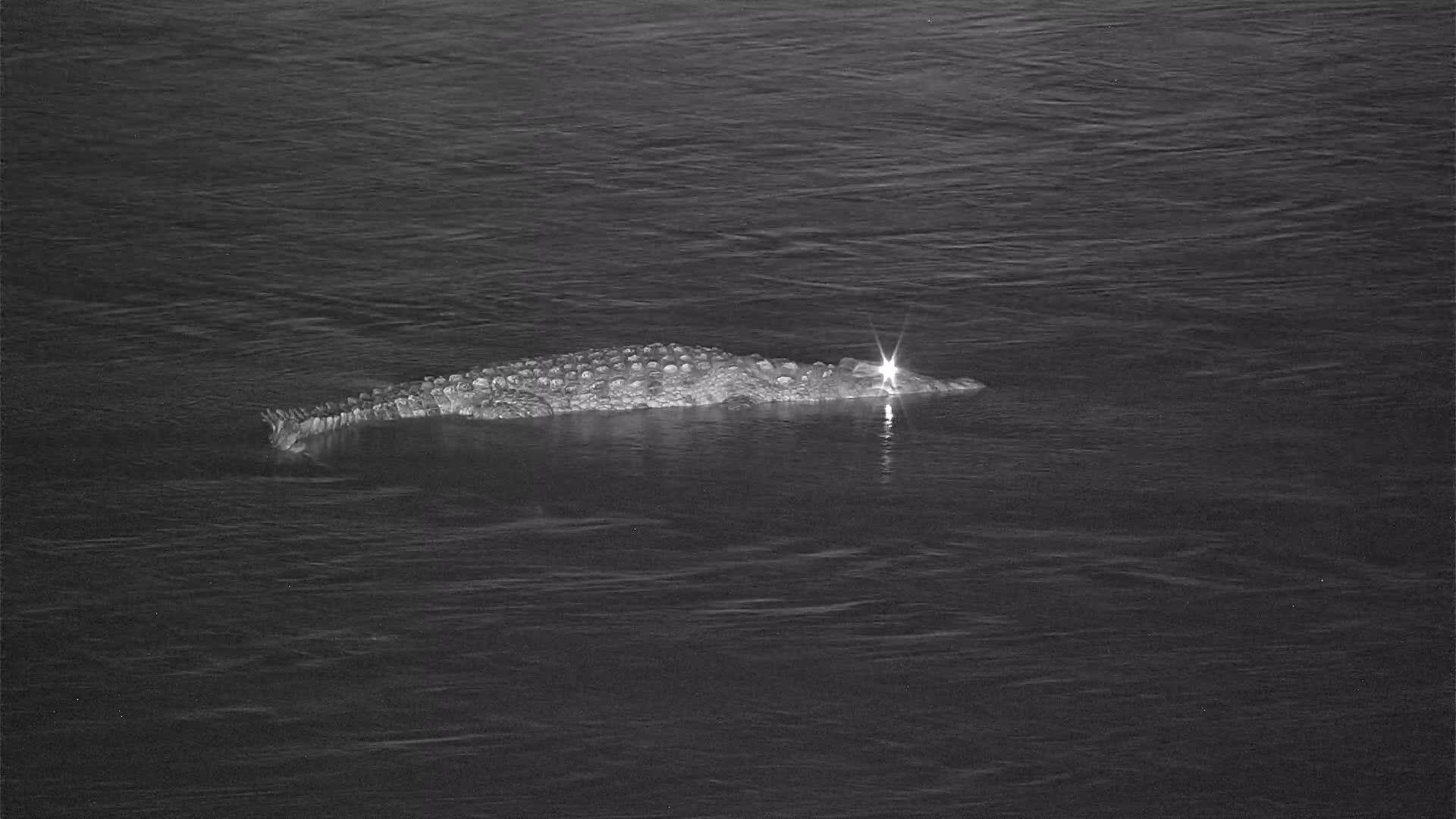 VIDEO:  Crocodile heading down stream